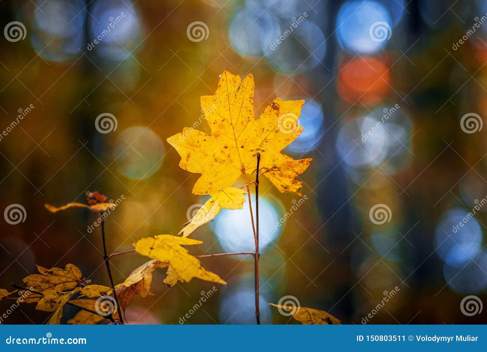 Желтый кленовый лист на ветви в лесе осени с расплывчатым background_