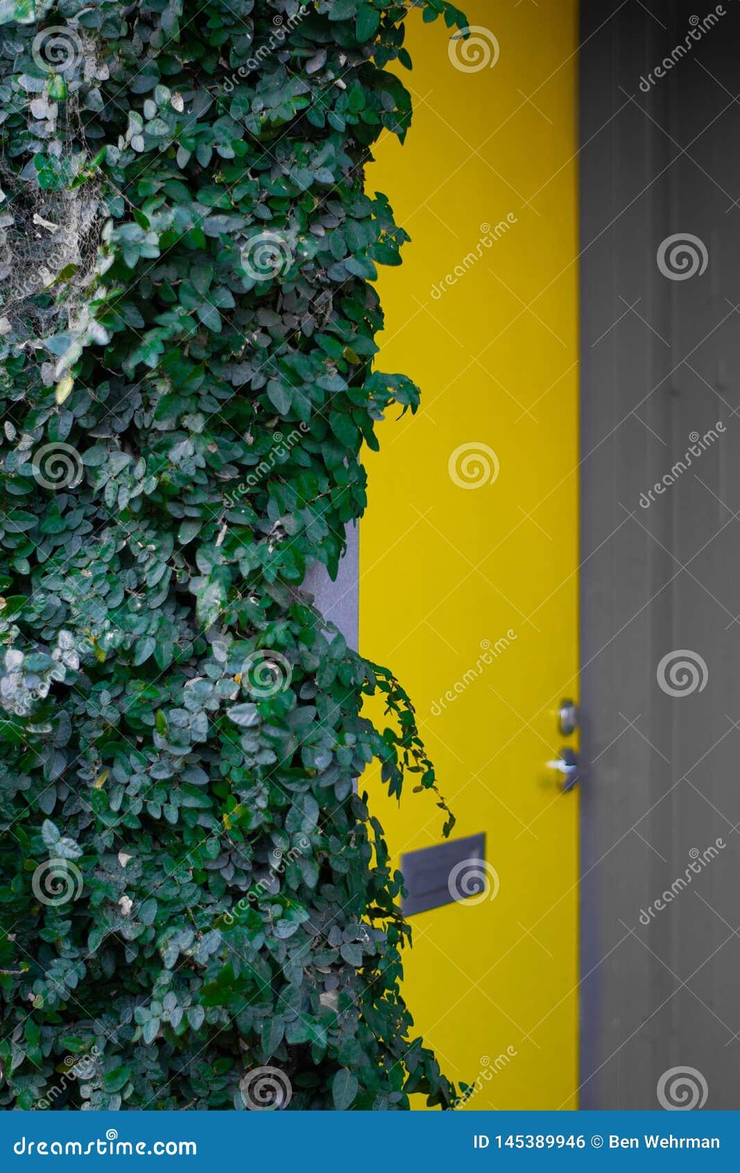 Желтый куст двери и плюща