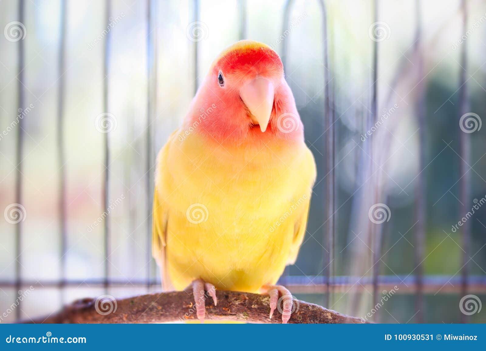 желтый неразлучник