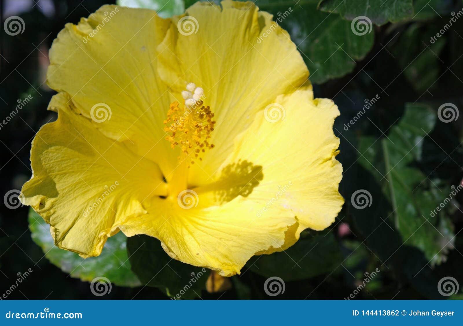 Желтый цветок кустарника гибискуса