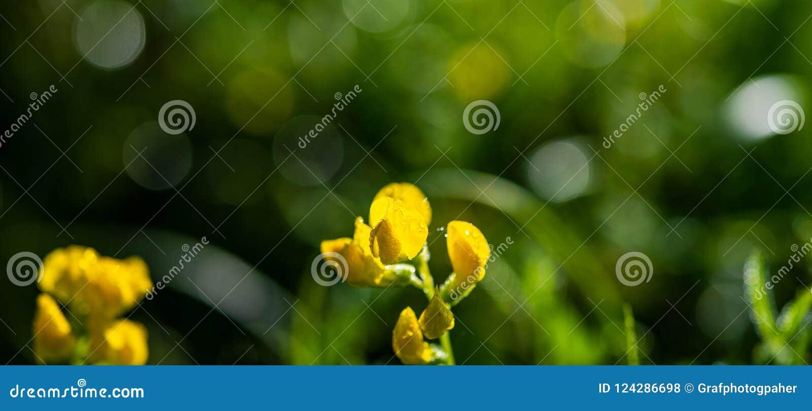 Желтый цветок луга предусматриванный с падениями росы на запачканной назад