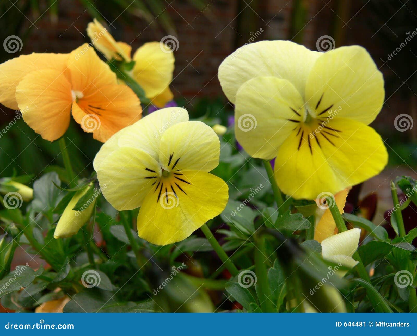 Download желтый цвет альтов стоковое изображение. изображение насчитывающей pansy - 644481