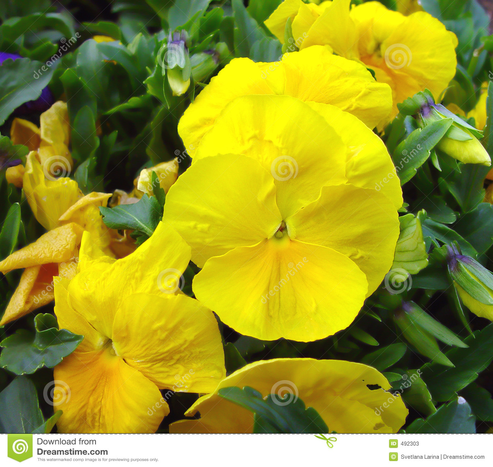 желтый цвет весны pansy