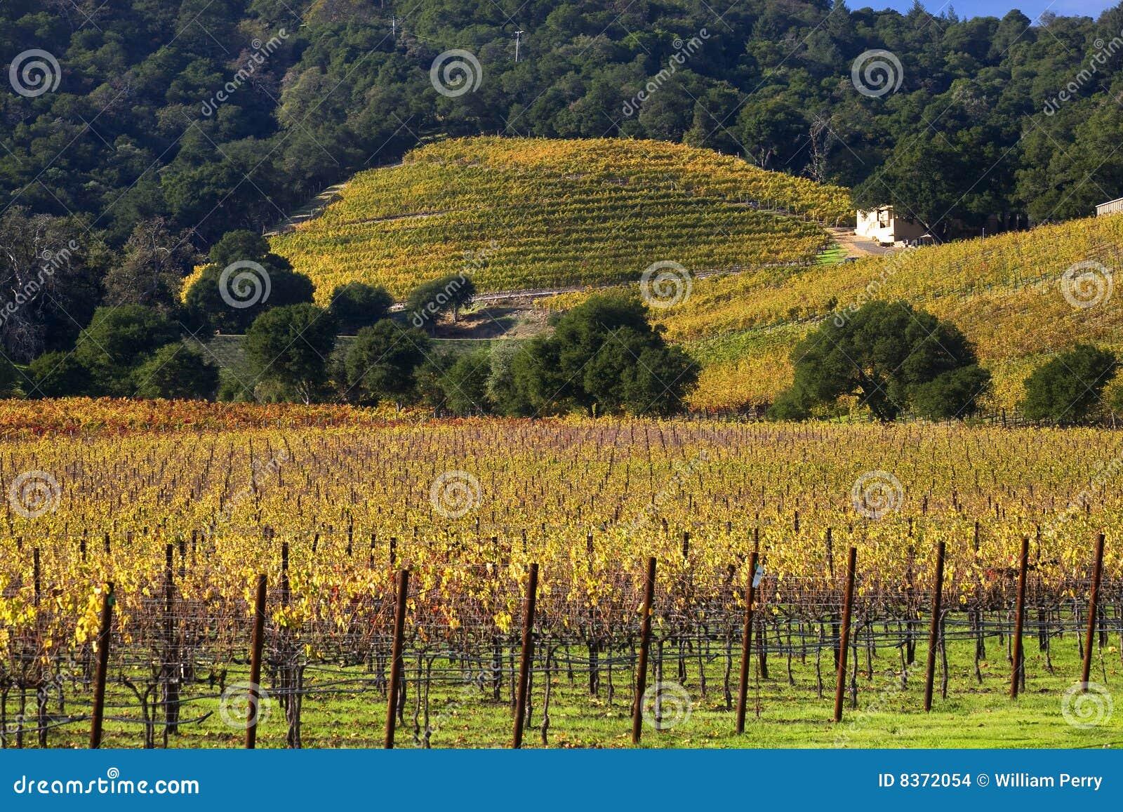 желтый цвет виноградников лоз napa холмов падения