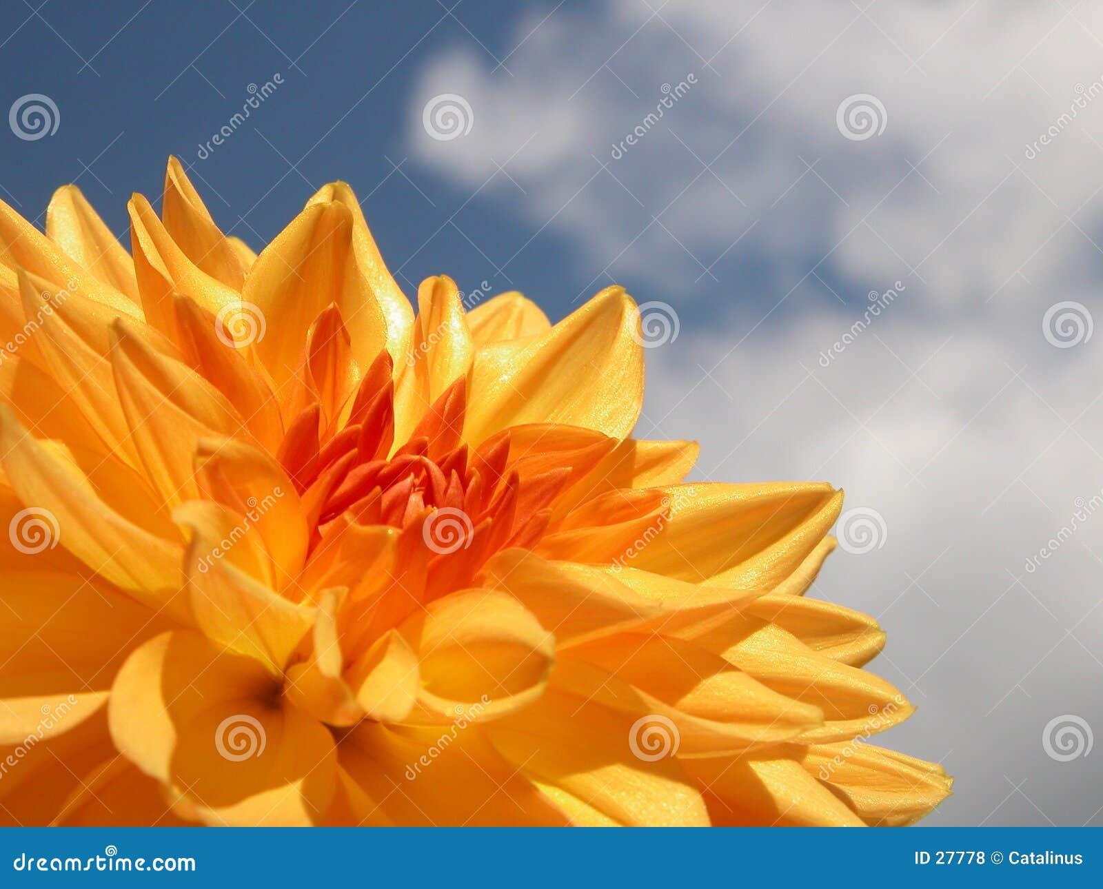 желтый цвет георгина