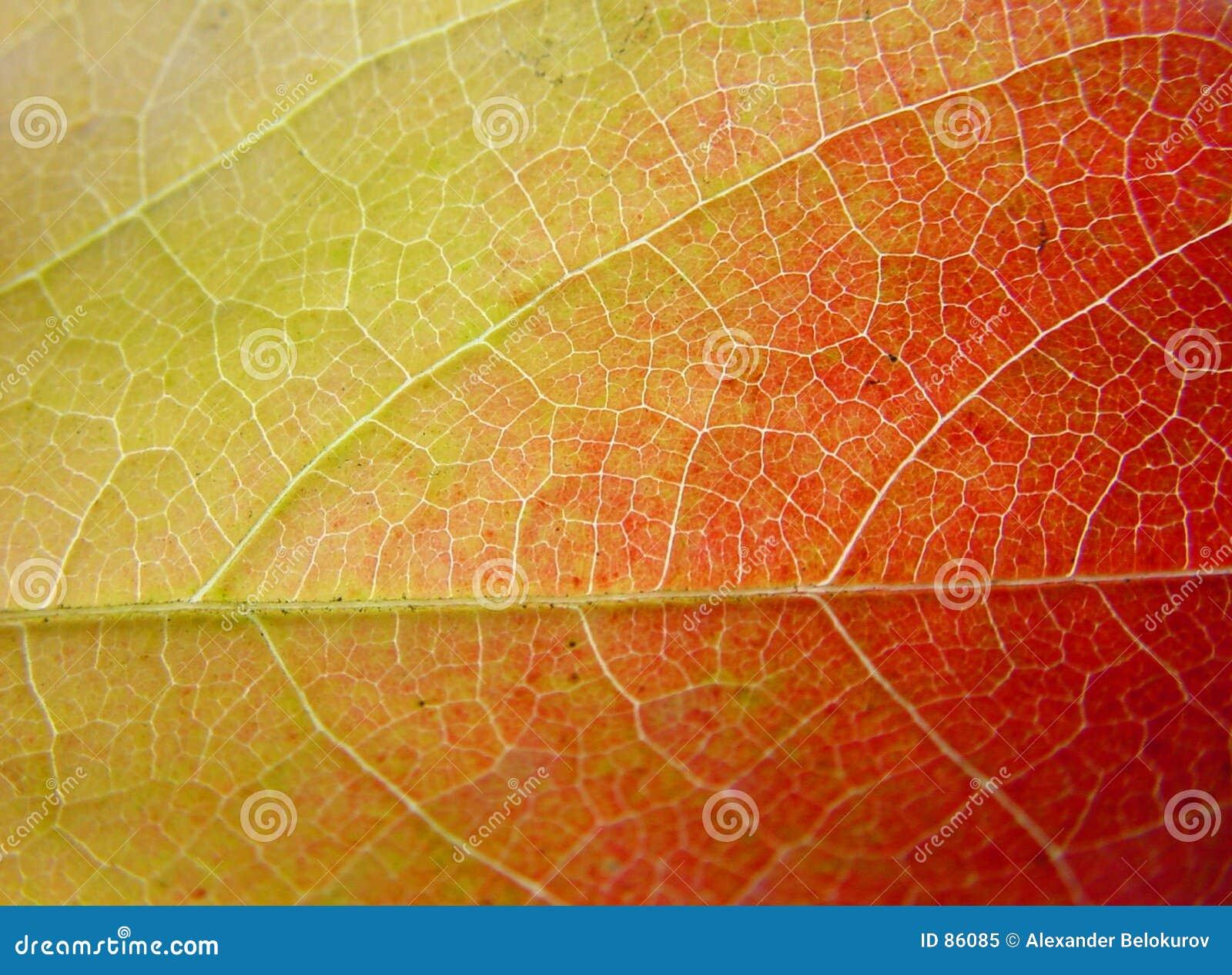 желтый цвет зеленых листьев предпосылки красный