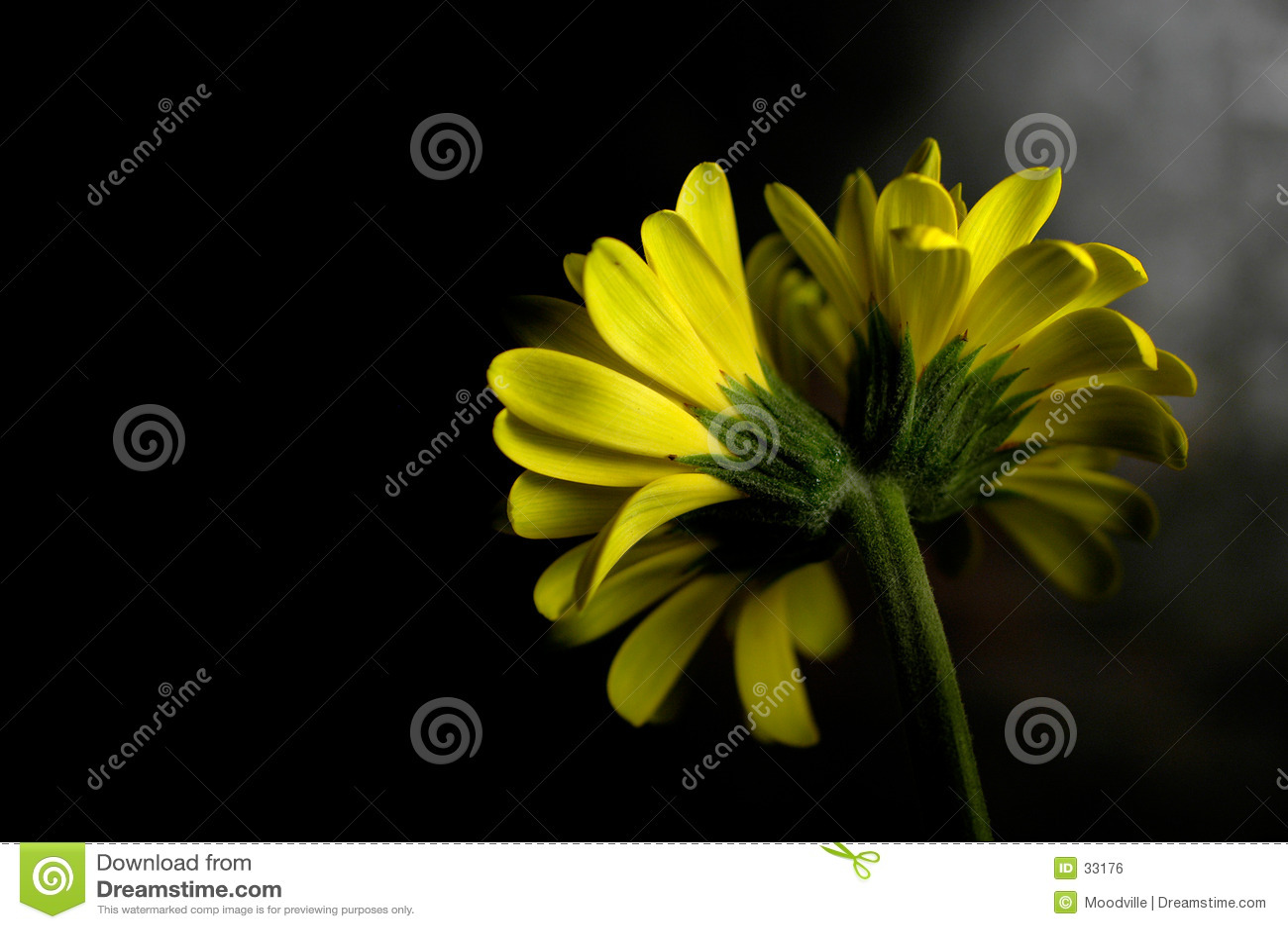 желтый цвет маргаритки