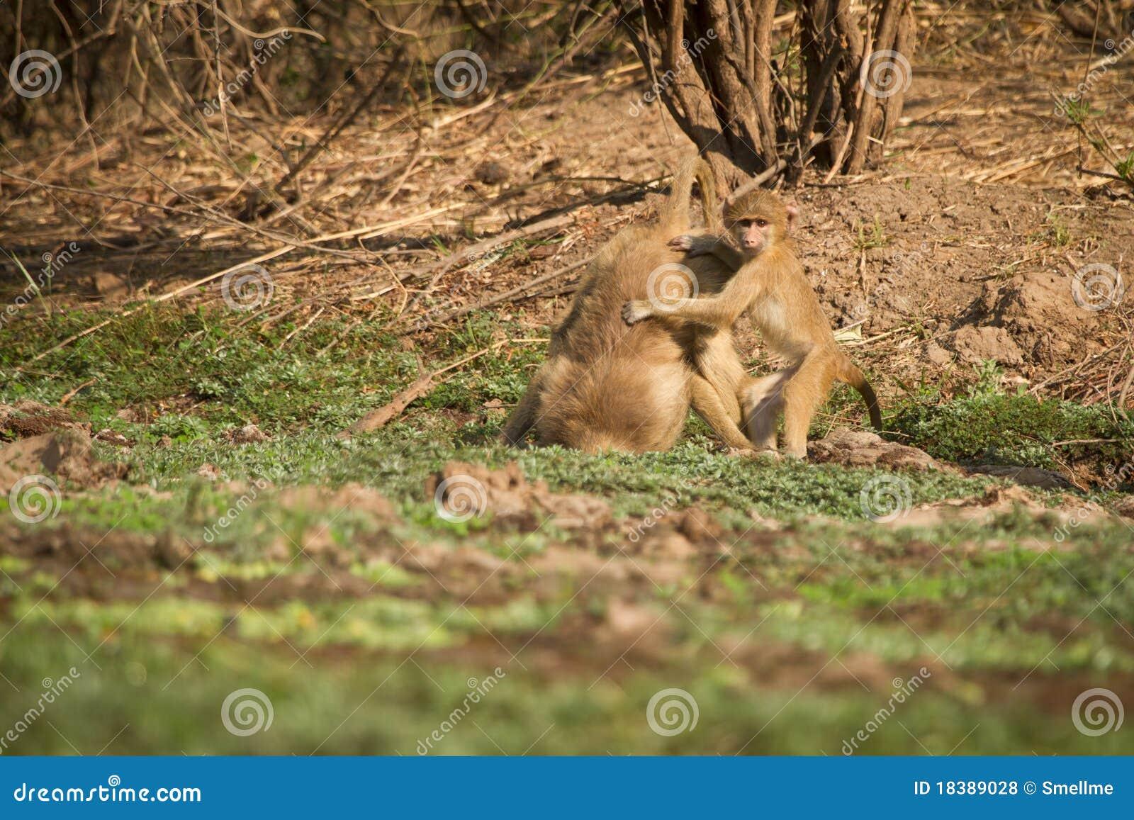 желтый цвет младенца павиана
