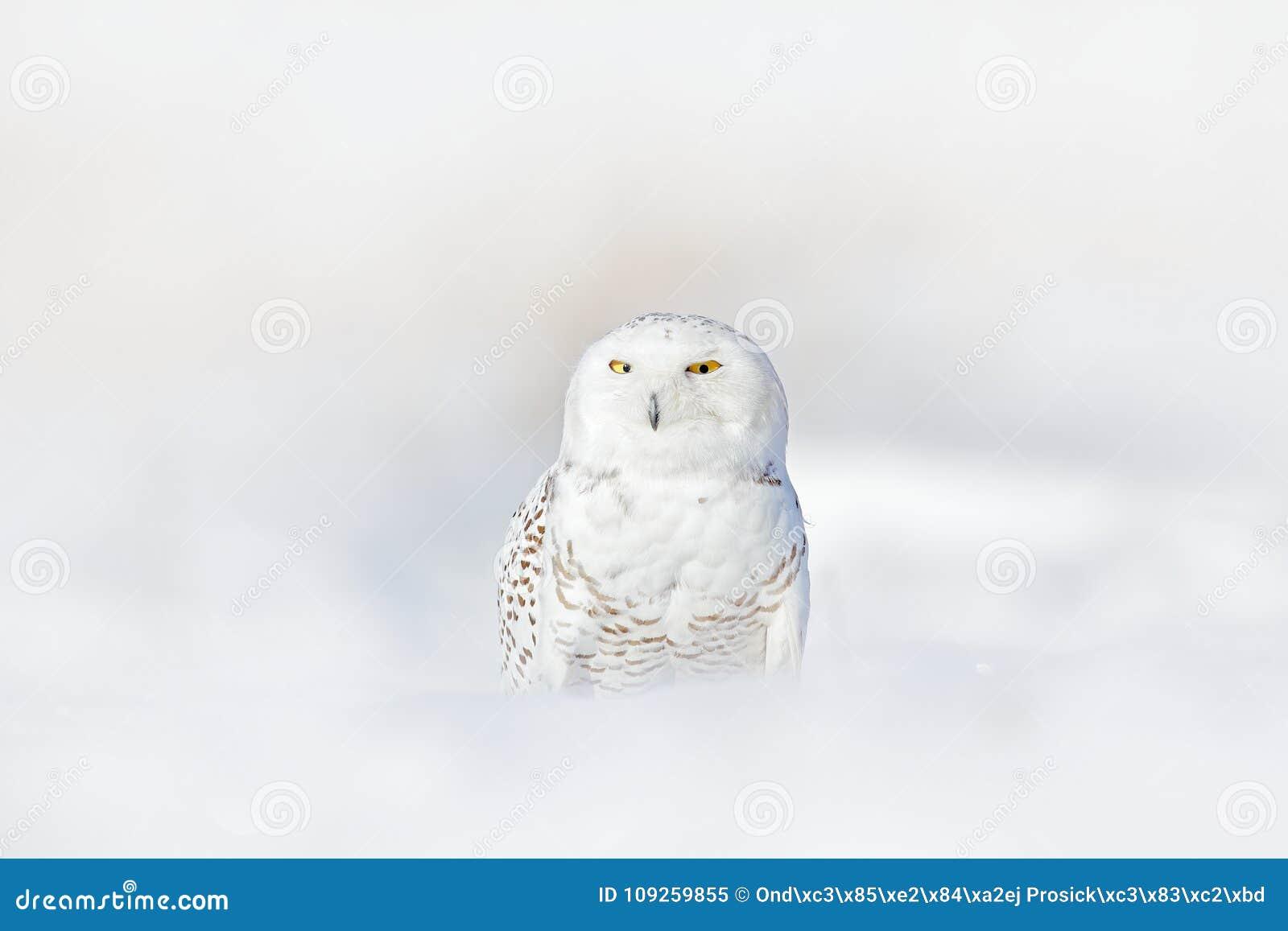 Желтый цвет наблюдает в белых пер оперения Сыч Snowy, scandiaca Nyctea, редкая птица сидя на снеге, зиме с снежинками в одичалом