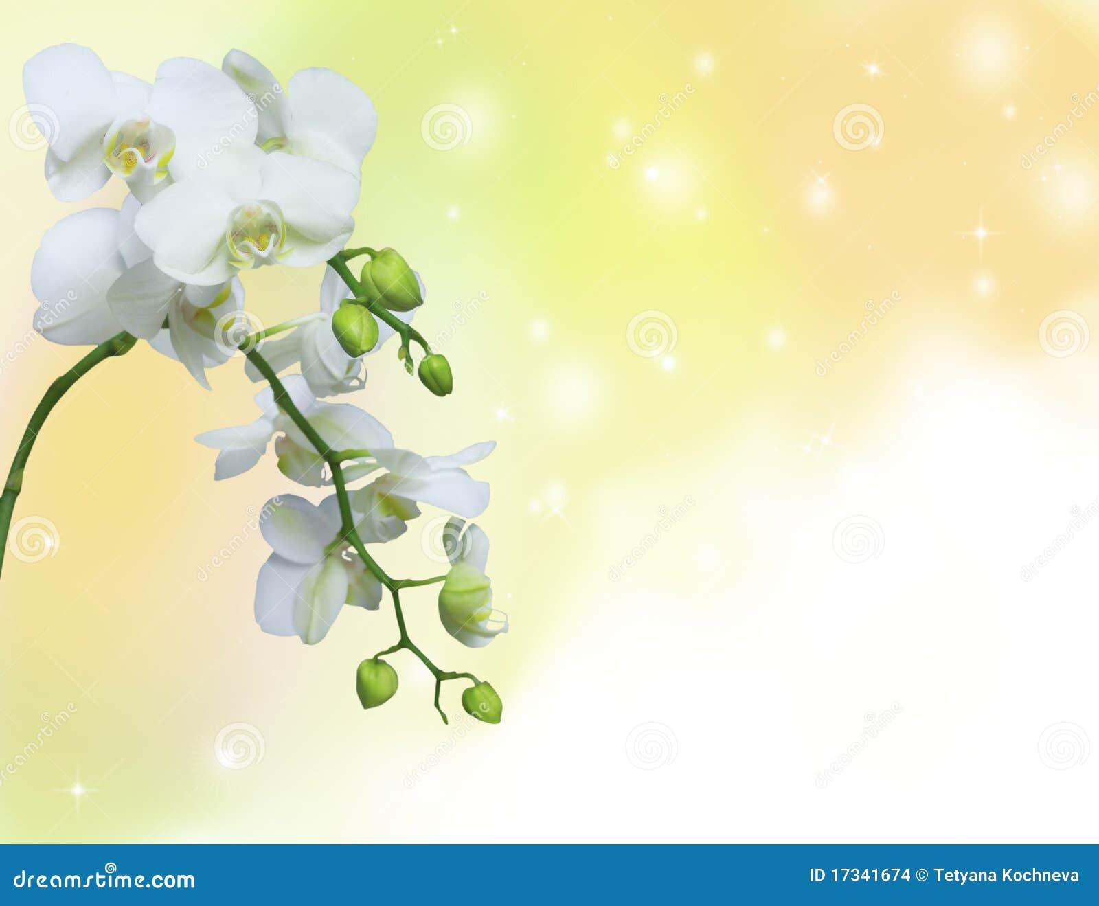 желтый цвет орхидеи предпосылки белый