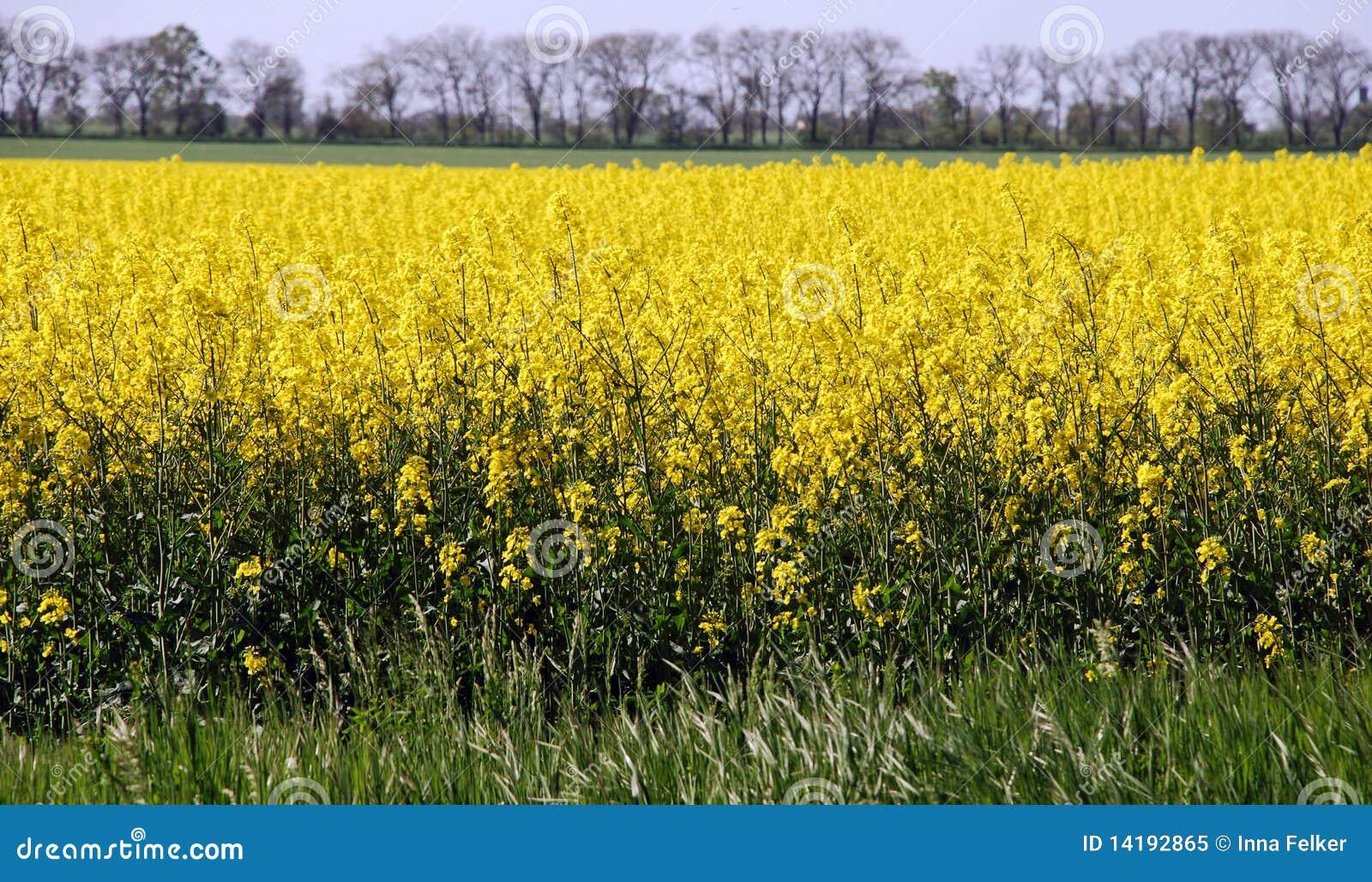 желтый цвет поля canola