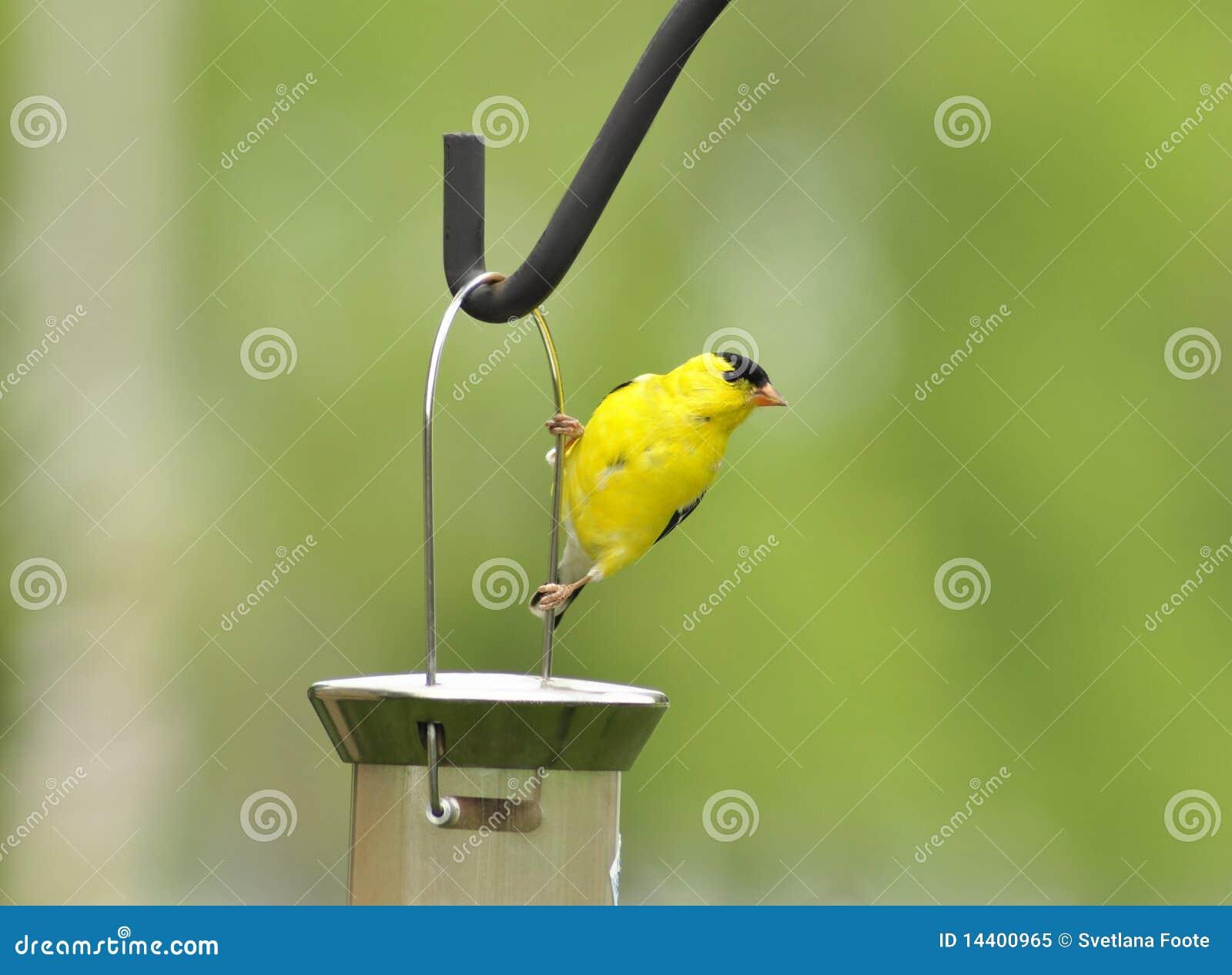 желтый цвет птицы