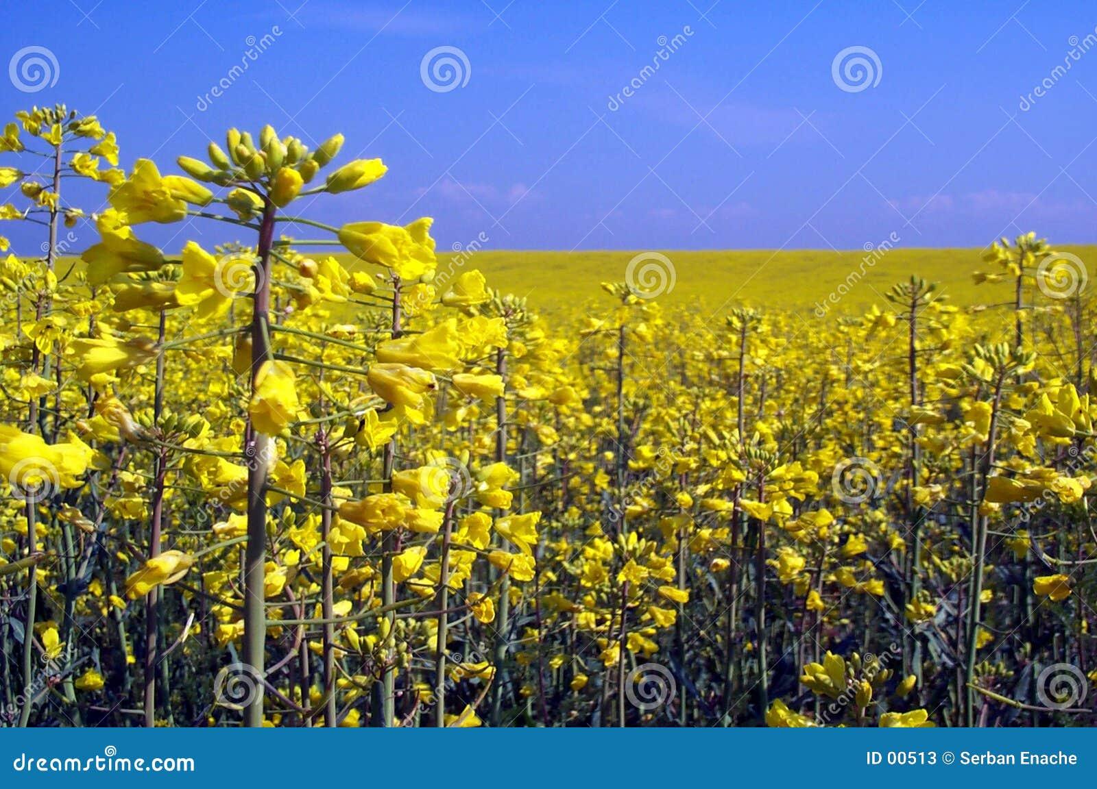 желтый цвет рапса поля
