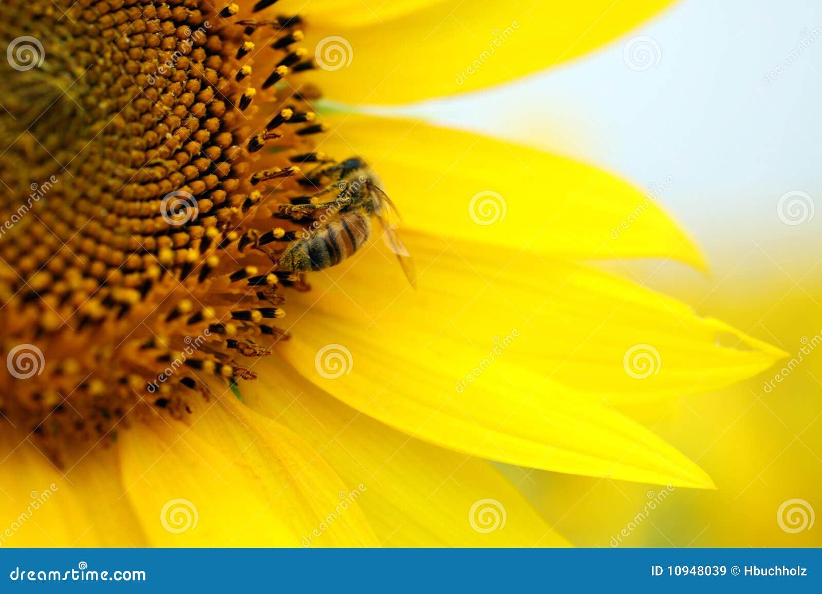 желтый цвет солнцецвета пчелы сидя