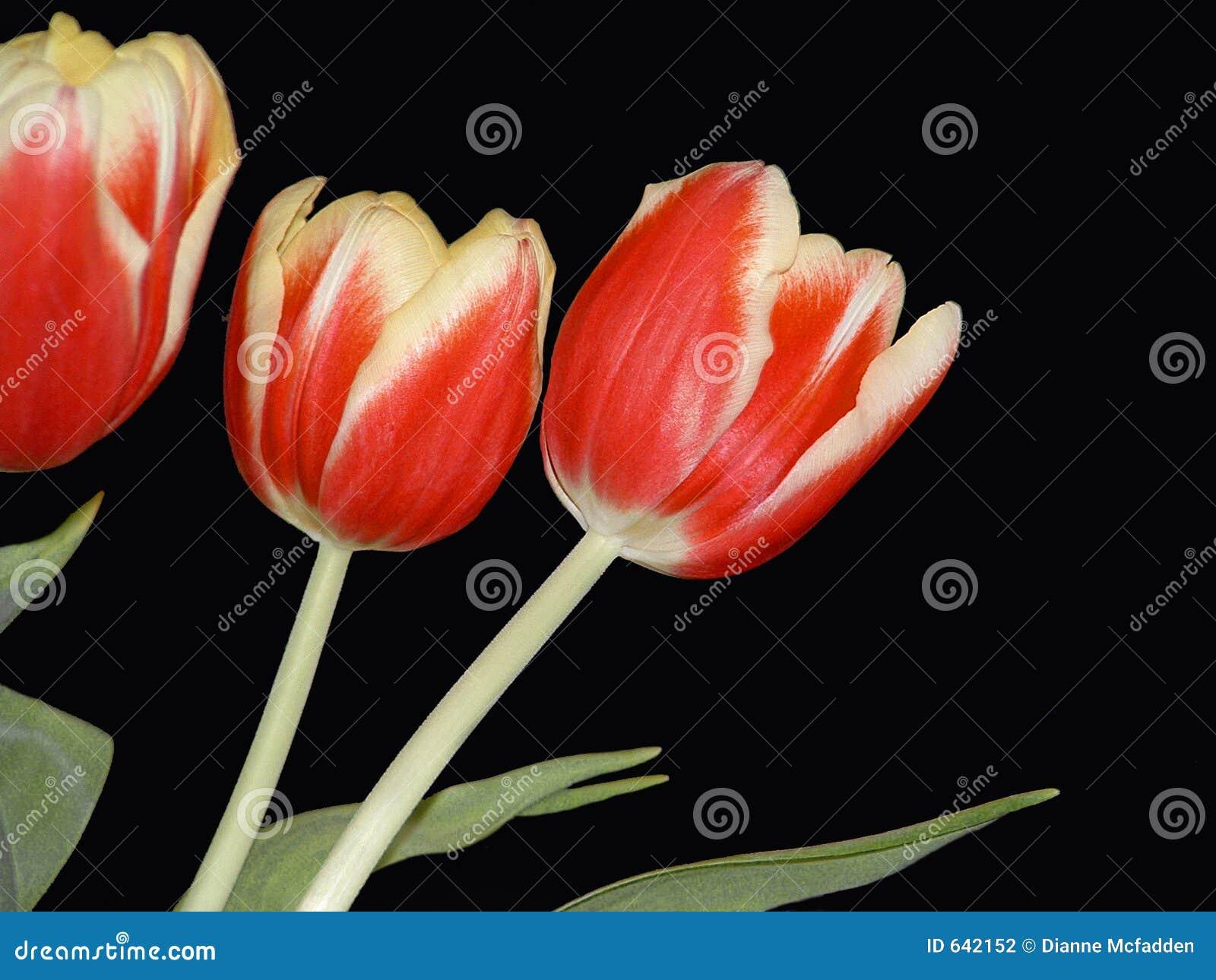 Download желтый цвет тюльпанов красного цвета 3 Стоковое Фото - изображение насчитывающей средства, изолировано: 642152