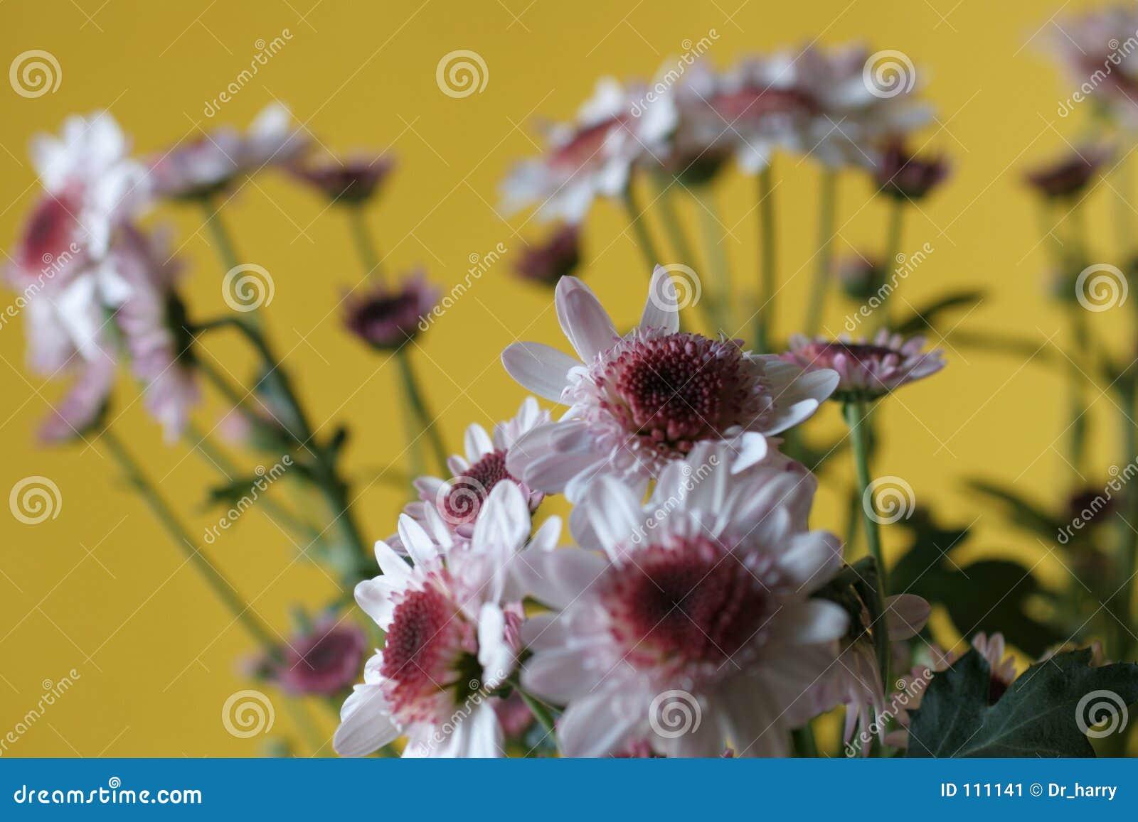 желтый цвет хризантемы