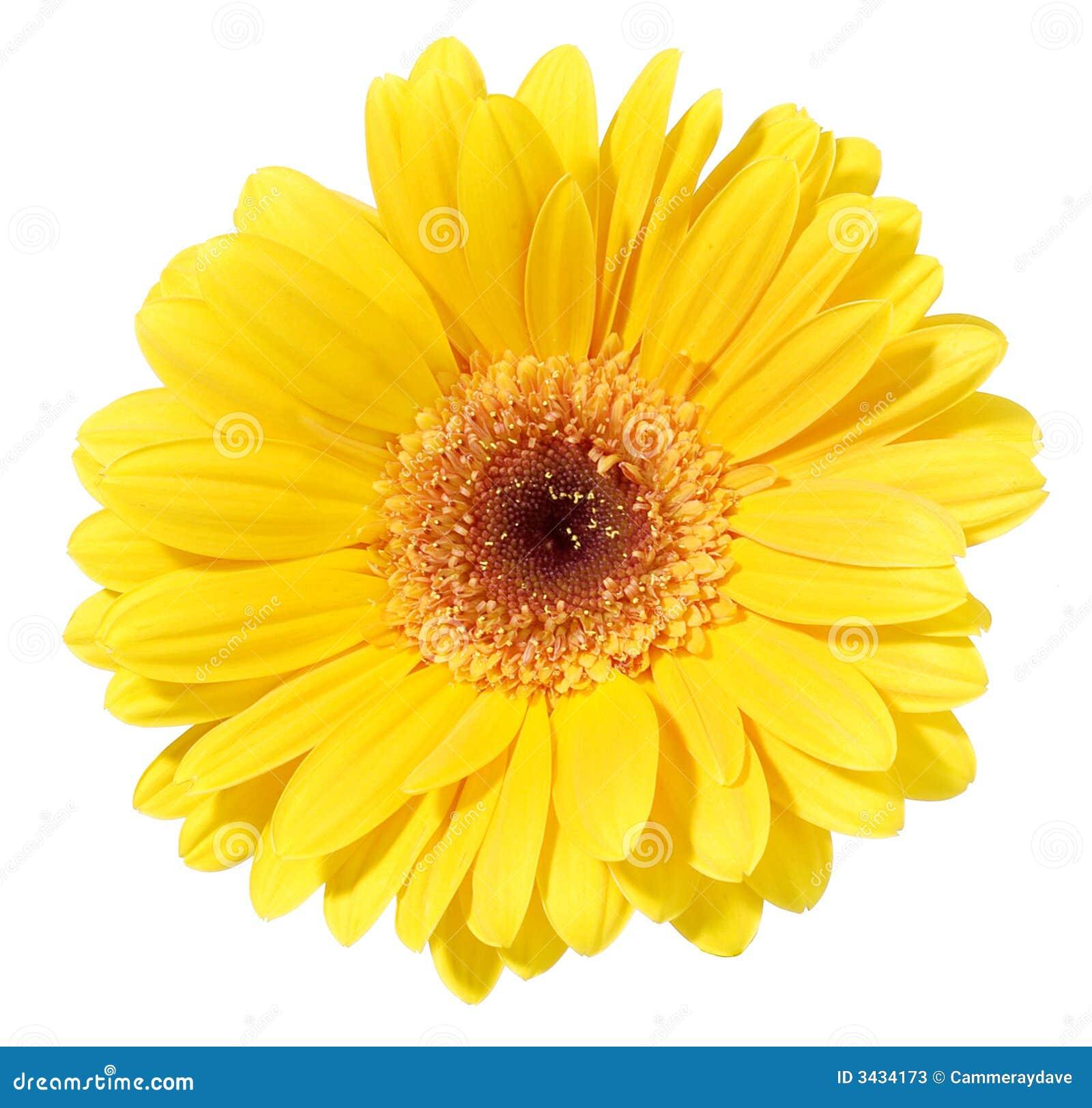 желтый цвет gerbera