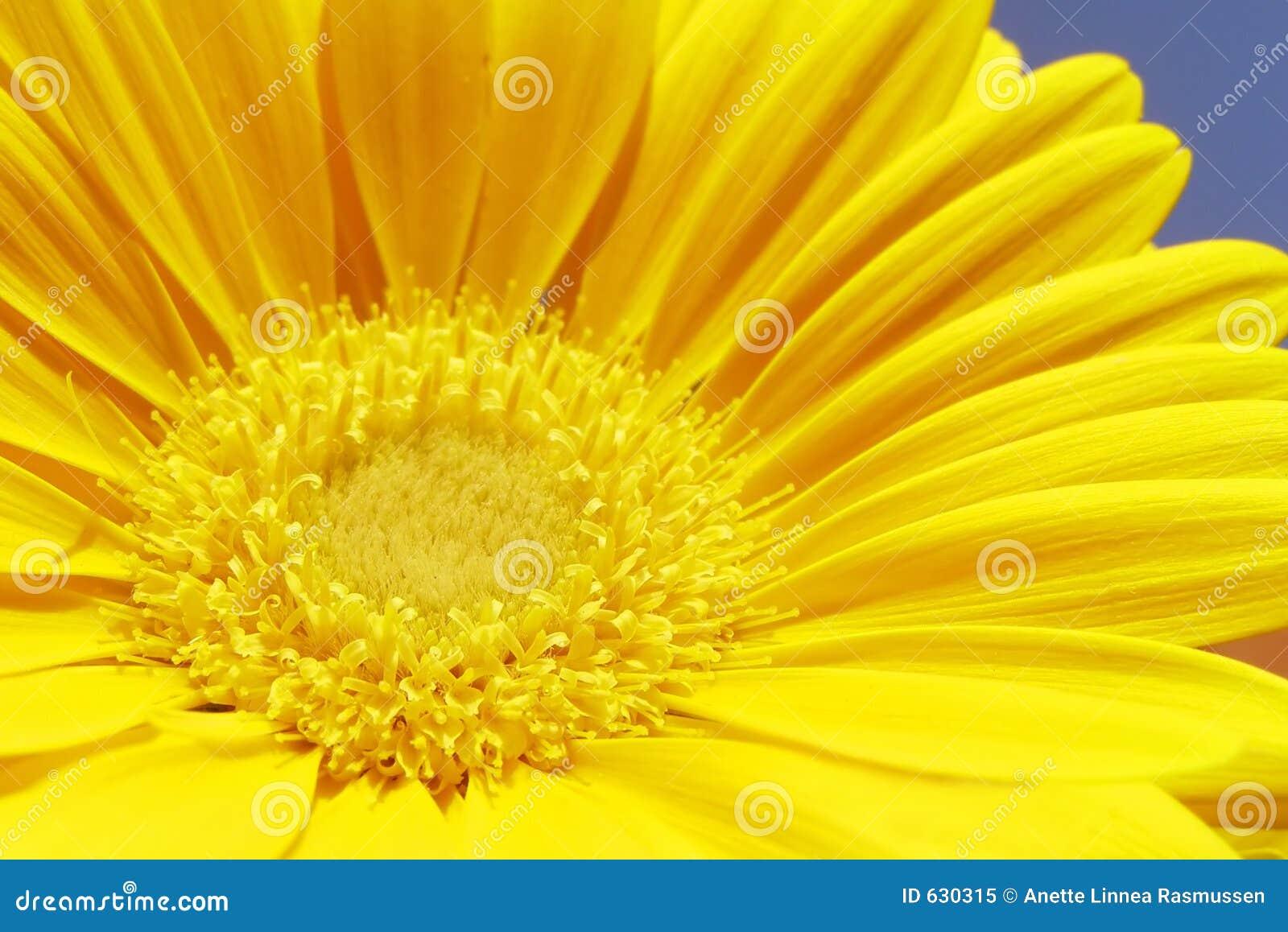 Download желтый цвет gerbera стоковое изображение. изображение насчитывающей флора - 630315