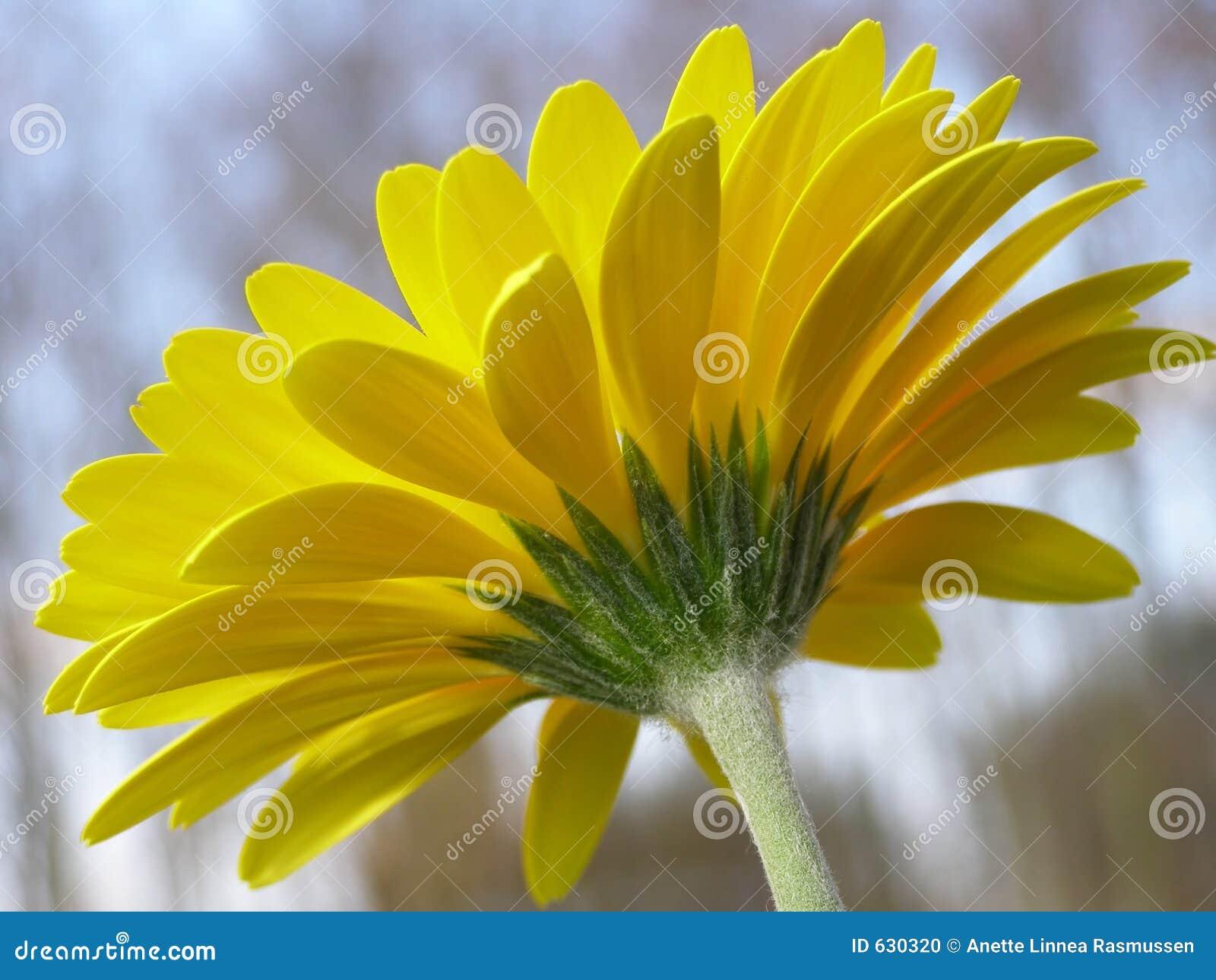 Download желтый цвет gerbera стоковое фото. изображение насчитывающей нерезкости - 630320