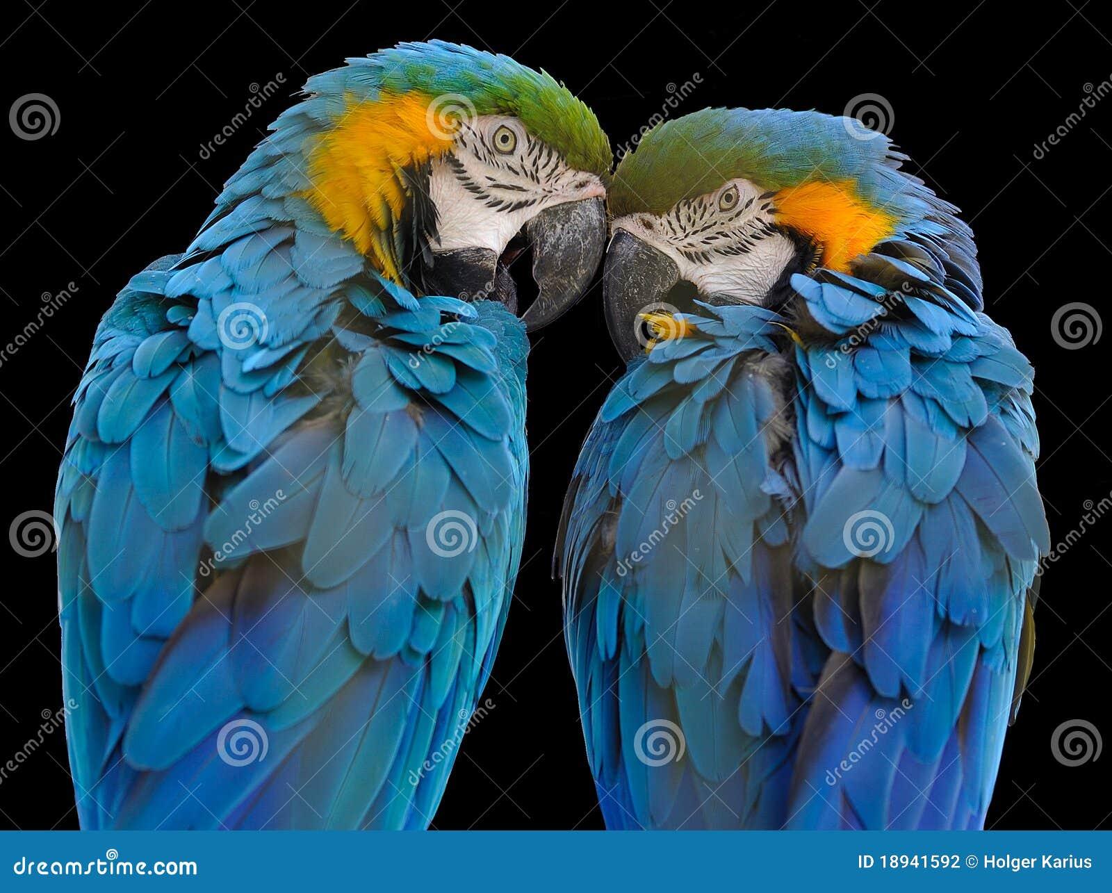 желтый цвет macaw ararauna ara голубой