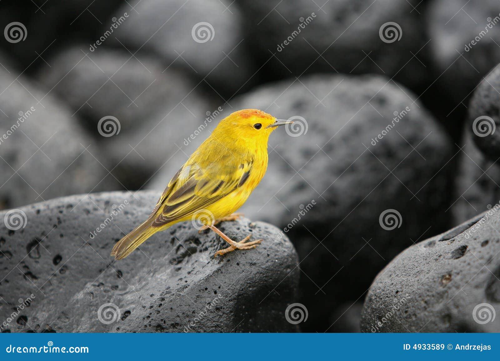 желтый цвет warbler
