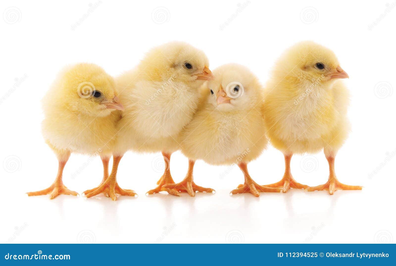 Желтый цыпленок 4