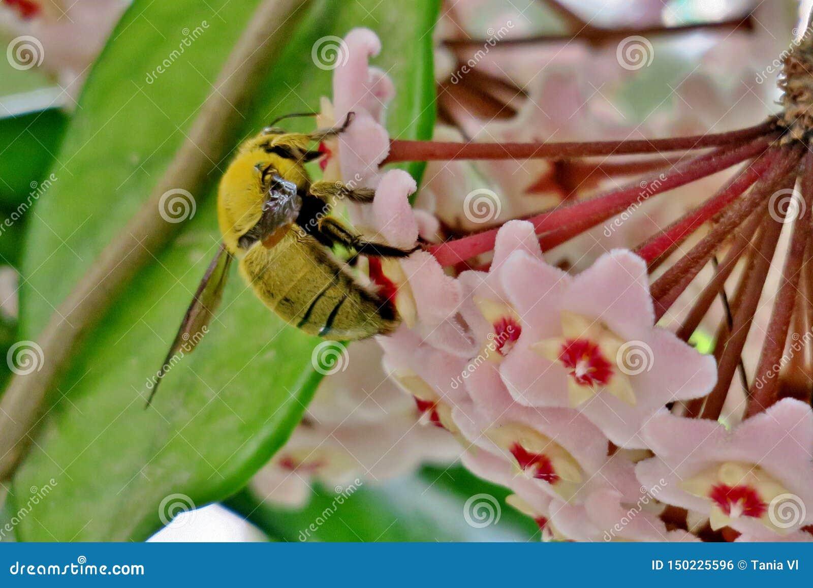 Желтый шмель собирает цветень от небольших розовых цветков