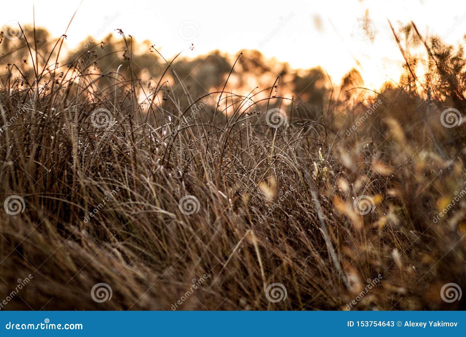 Желт-коричневый конец-вверх травы осени на заходе солнца около леса