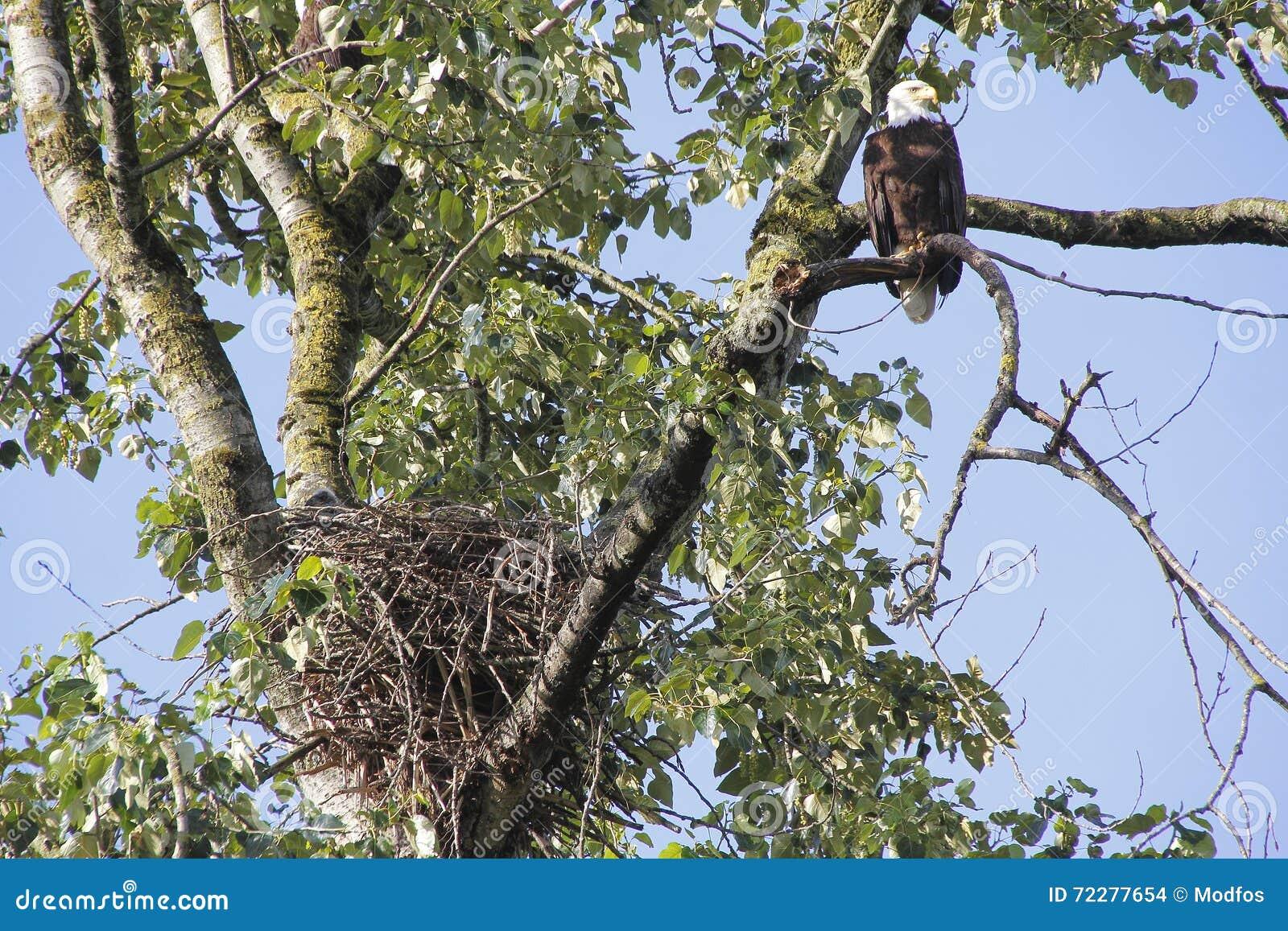 Download Женская вложенность белоголового орлана Стоковое Фото - изображение насчитывающей angiosperms, биографической: 72277654
