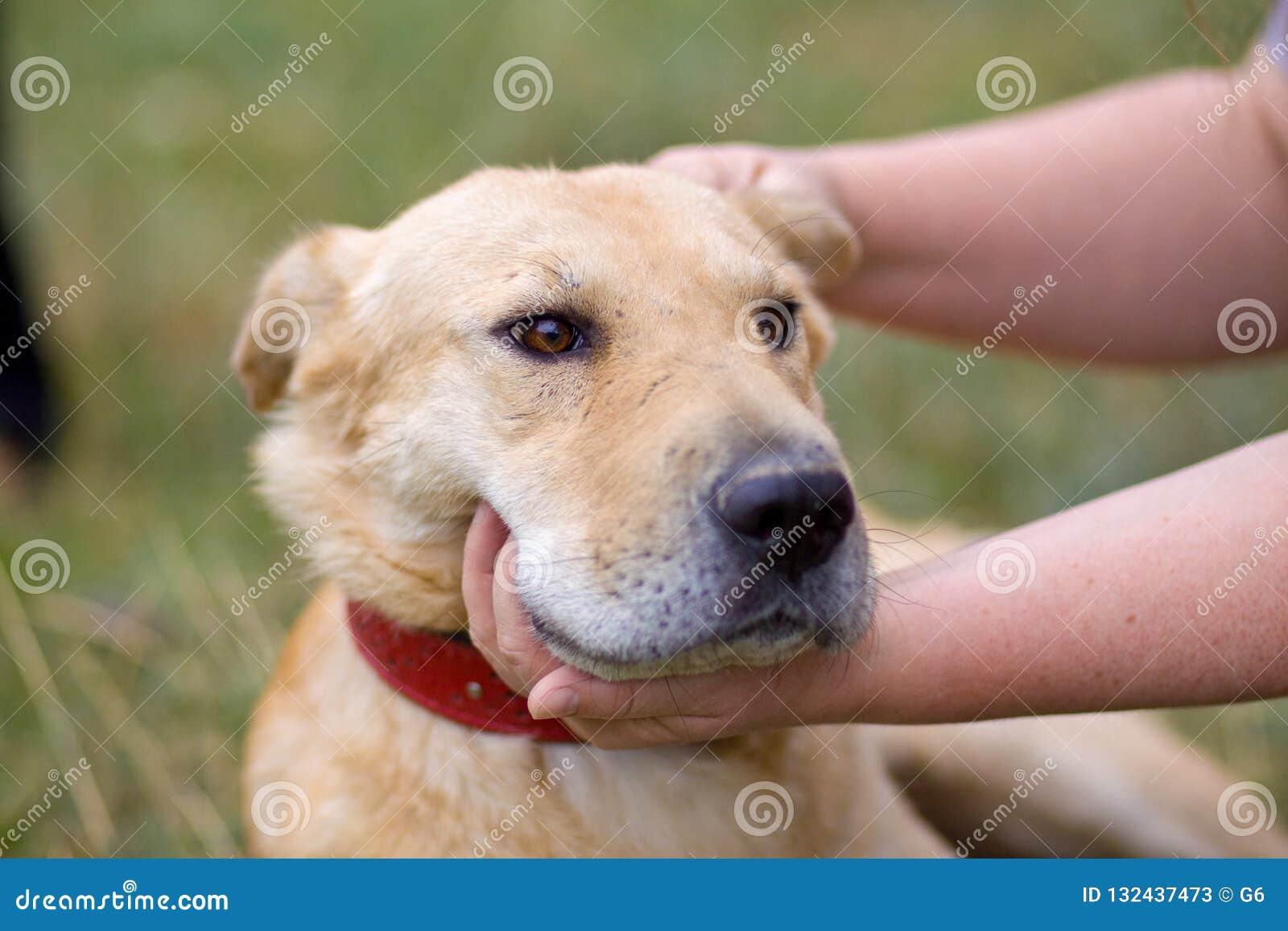 Женская рука patting голова собаки Любовь между собакой и человеком