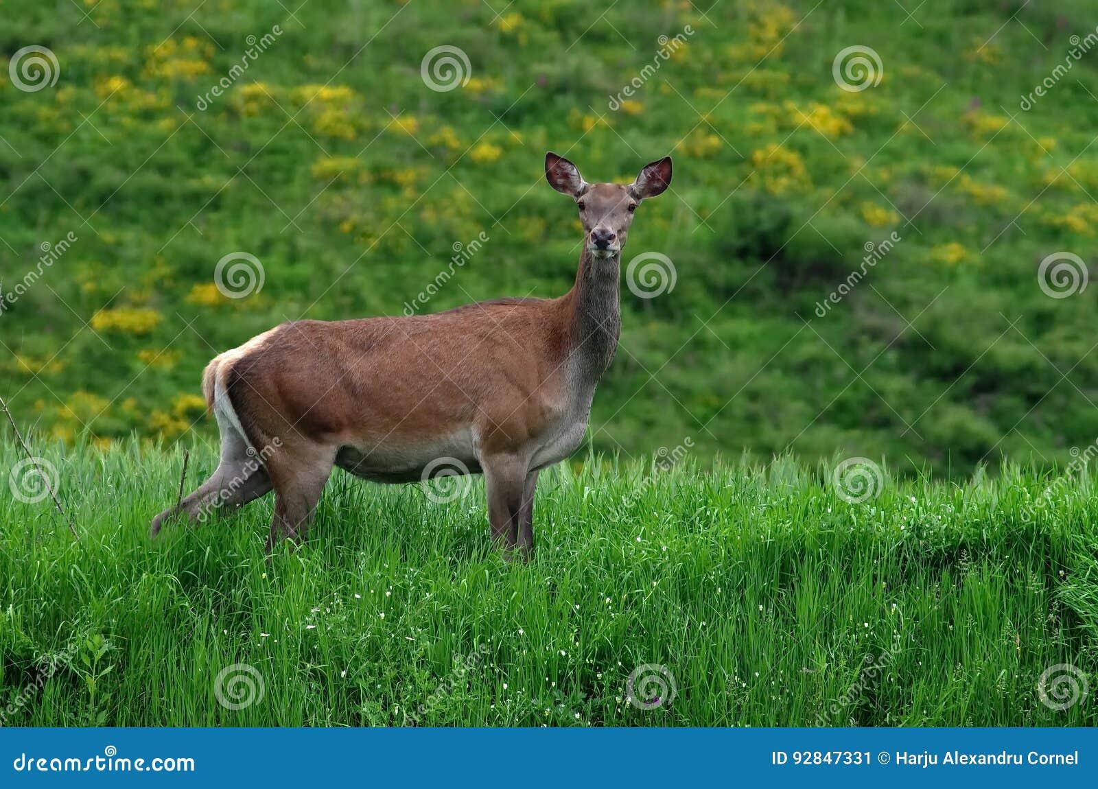 Женские красные олени
