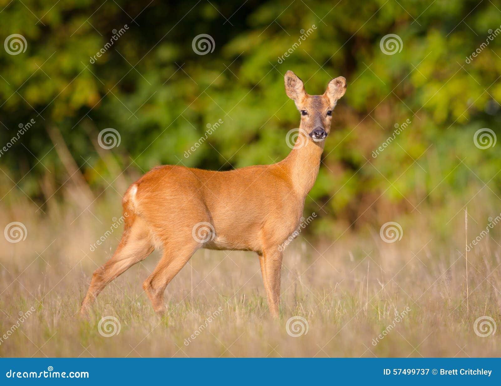Женские олени козуль