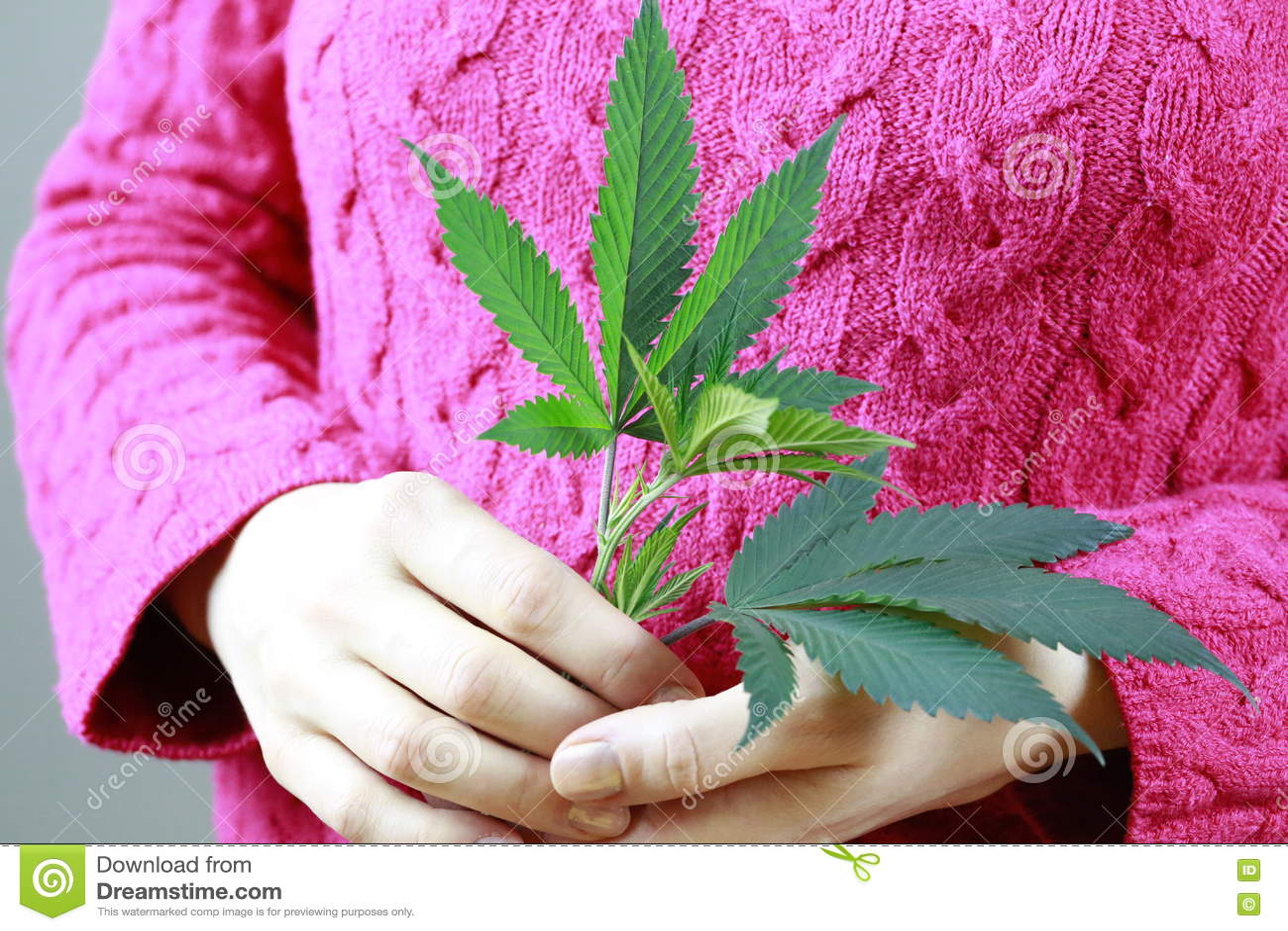 Женские руки держат лист марихуаны зеленые свежие (конопли)