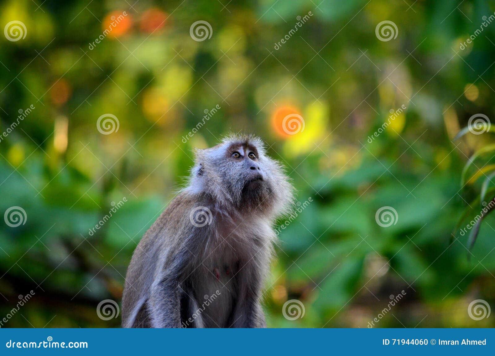 Женский длинный замкнутый лес внутренности пристальных взглядов обезьяны макаки вверх плотный малайзийский