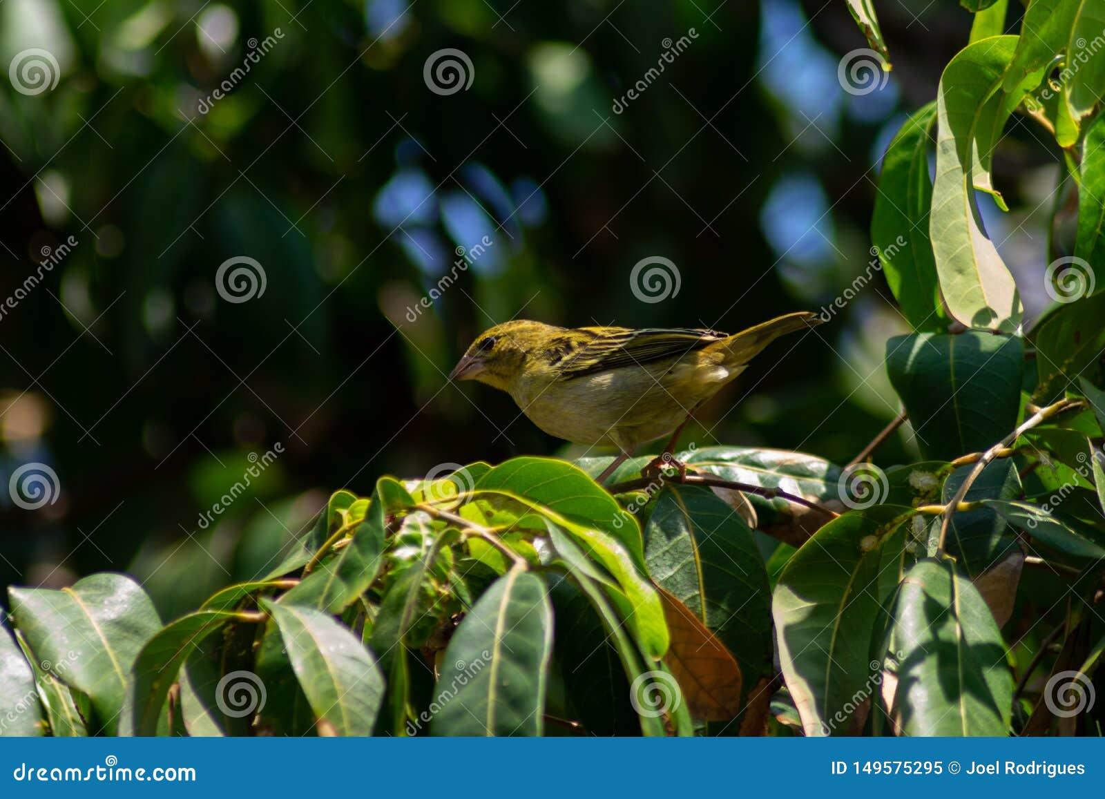 Женский кардинал на тропическом деревом манго на горячий летний день