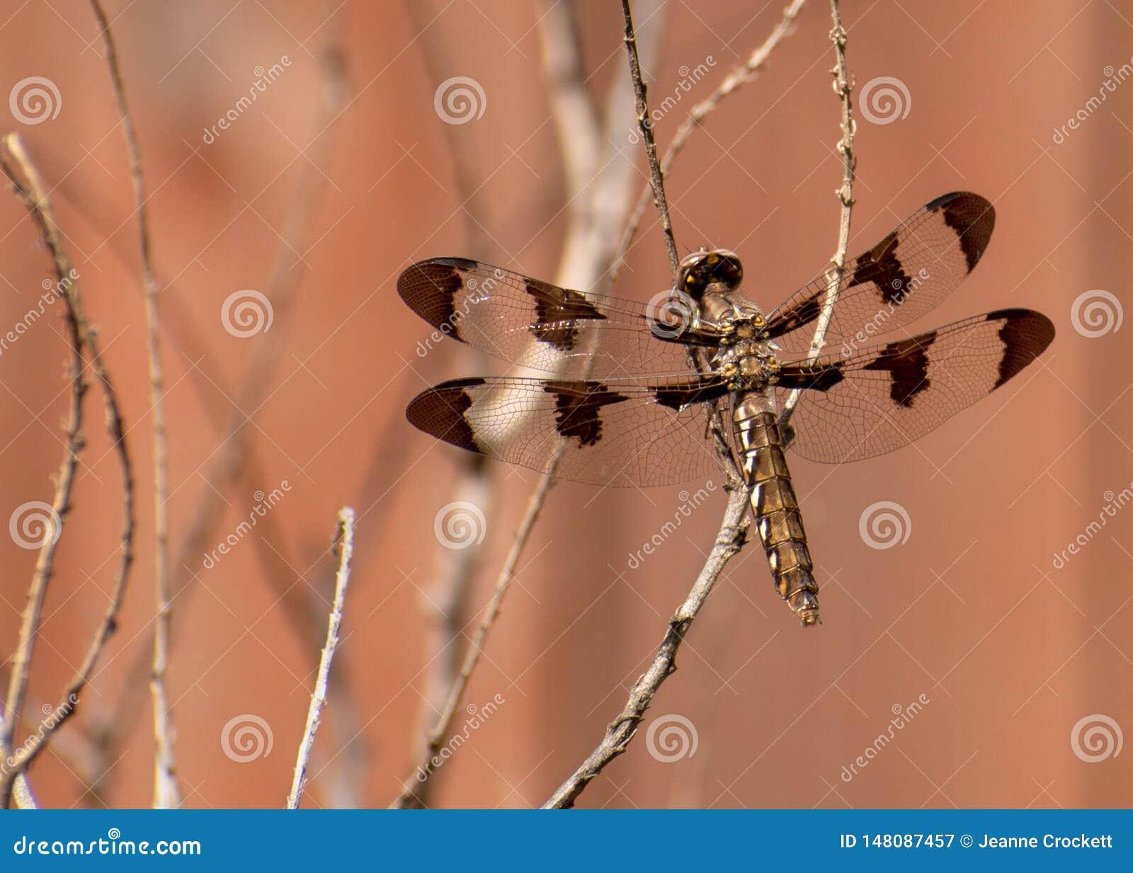 Женский общий Dragonfly Whitetail