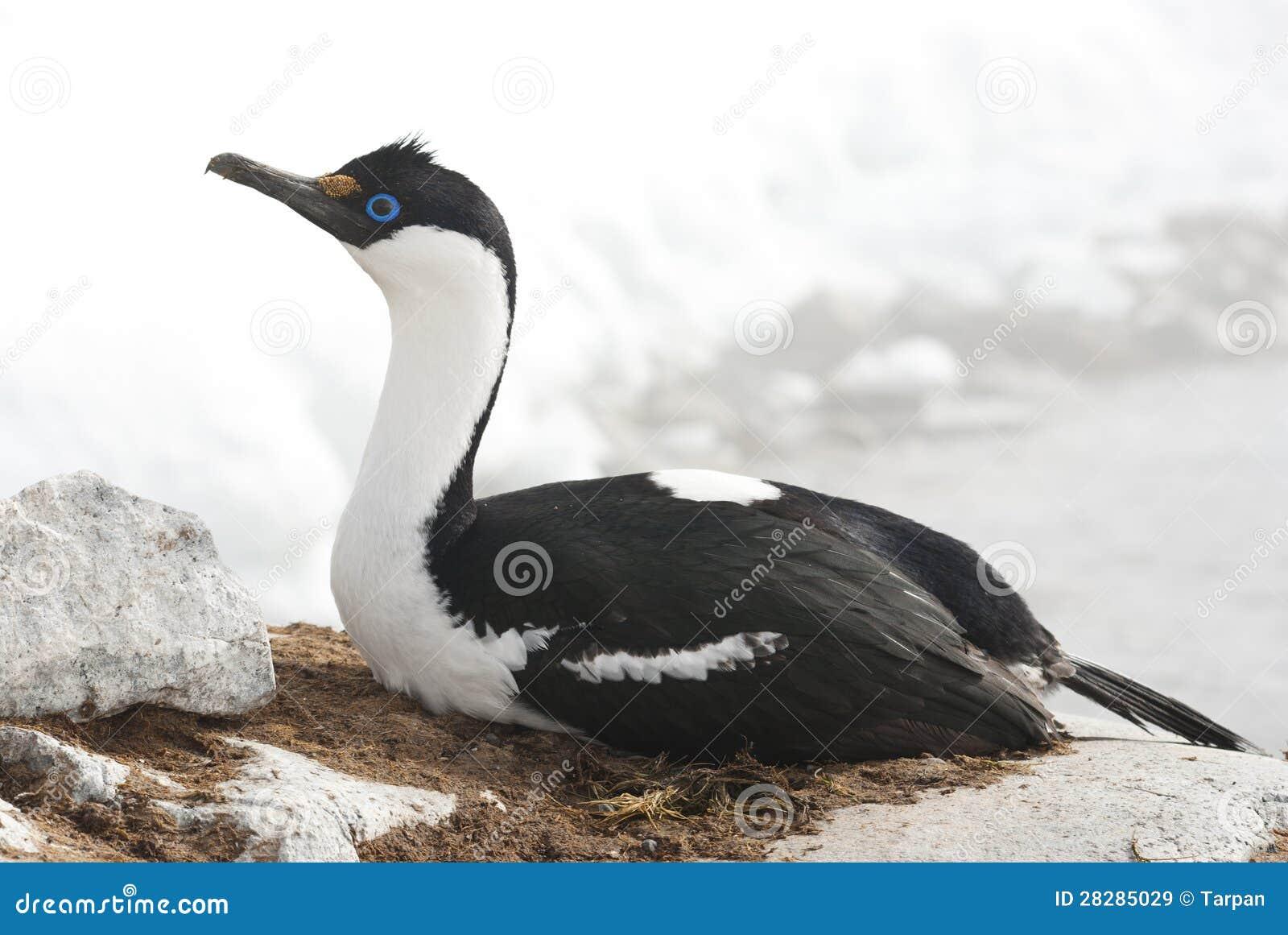 Женский приантарктический голубоглазый баклан на гнезде.