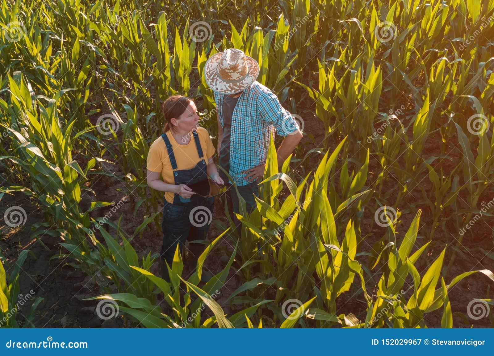 Женский agronomist советуя фермеру мозоли в поле урожая