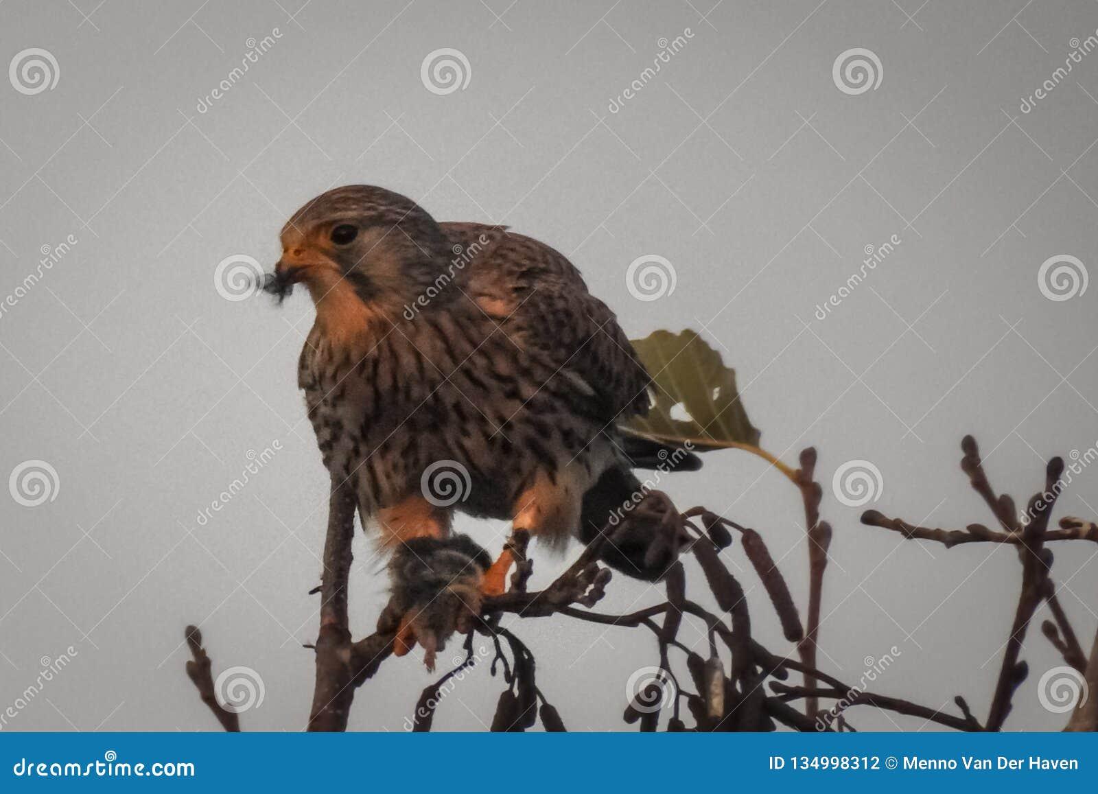 Женское общее tinnunculus Falco Kestrel с добычей