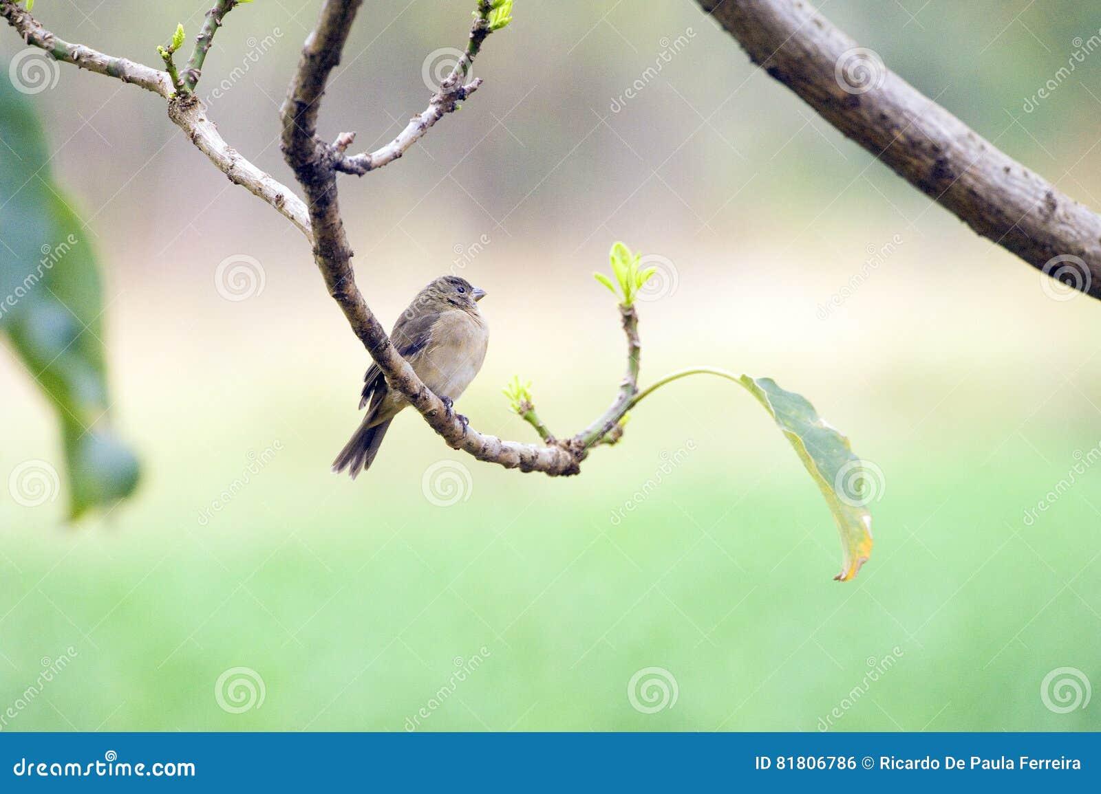 Женщина двух-collared seedeater садилась на насест на ветви дерева