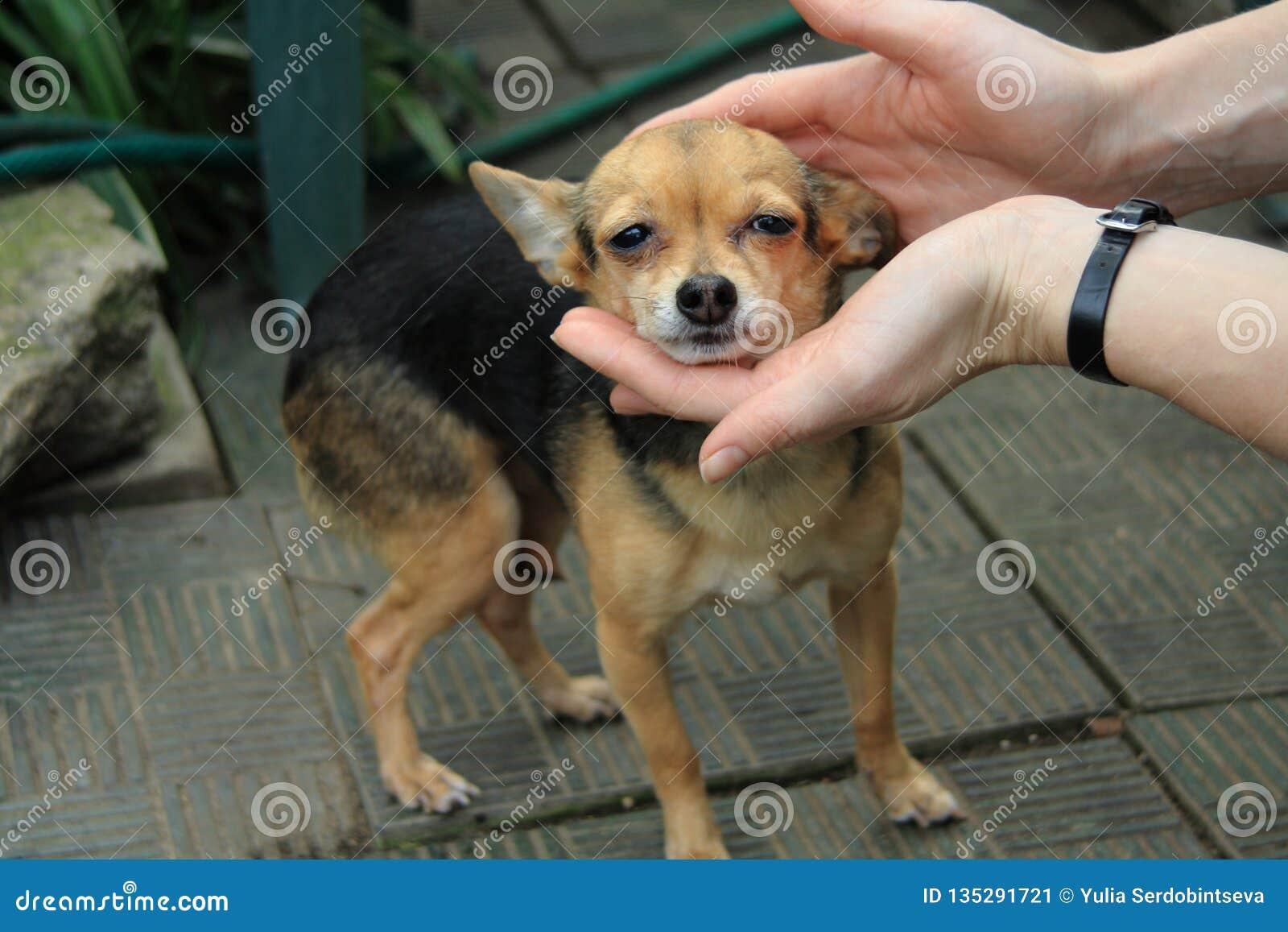 Женщина держа голову милой маленькой собаки