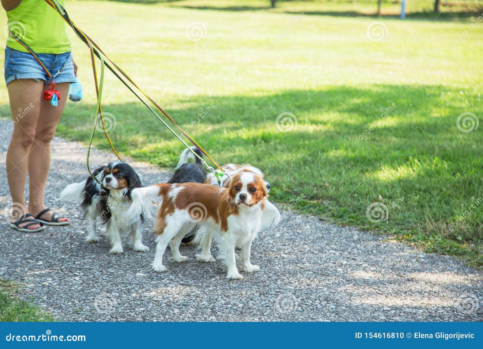 Женщина идя пакет Spaniel короля Чарльза небольших собак кавалерийского в парке Профессиональное обслуживание ходока собаки