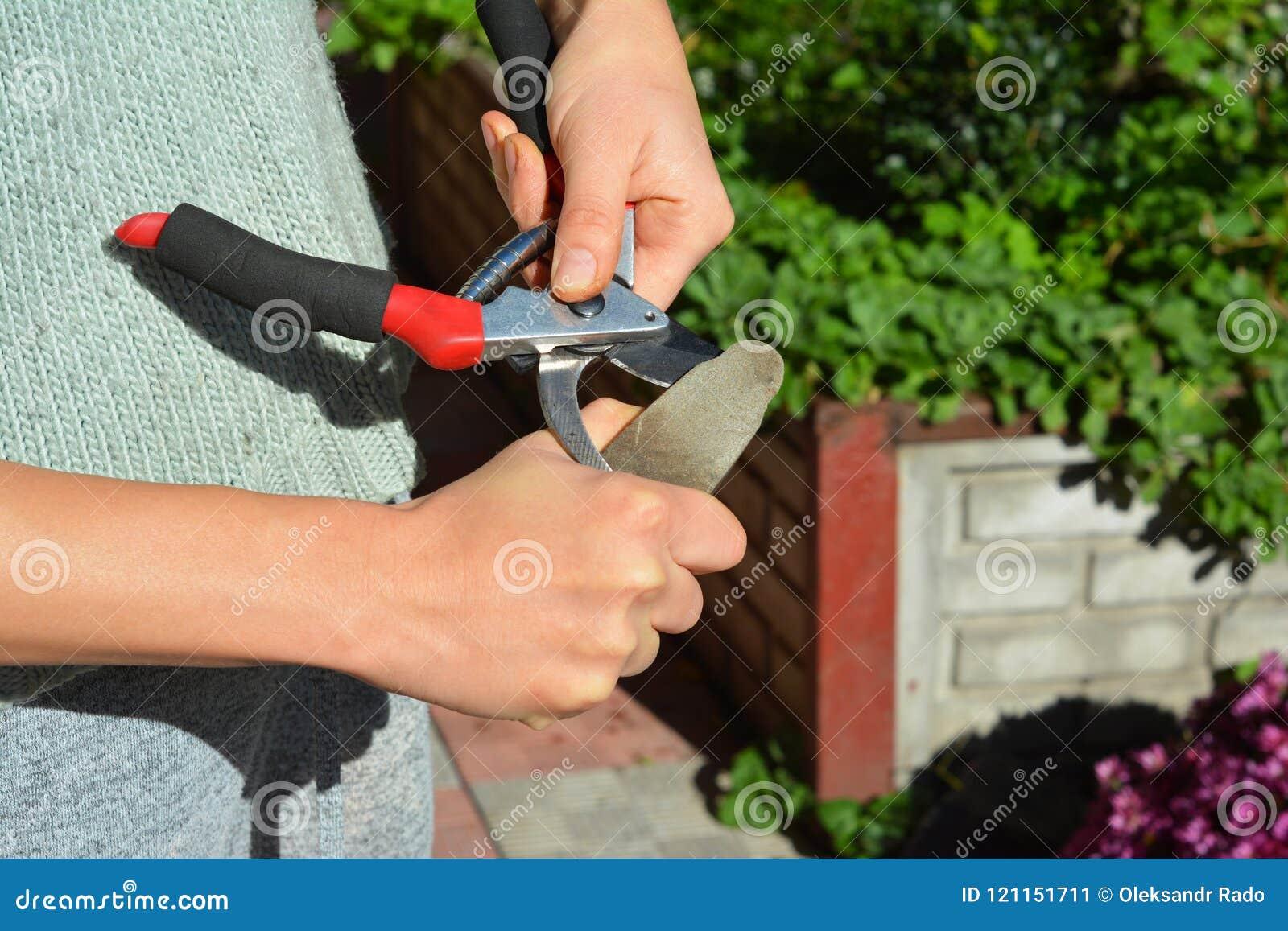 Женщина точит подрезая ножницы Чистка садовника и садовые инструменты точить