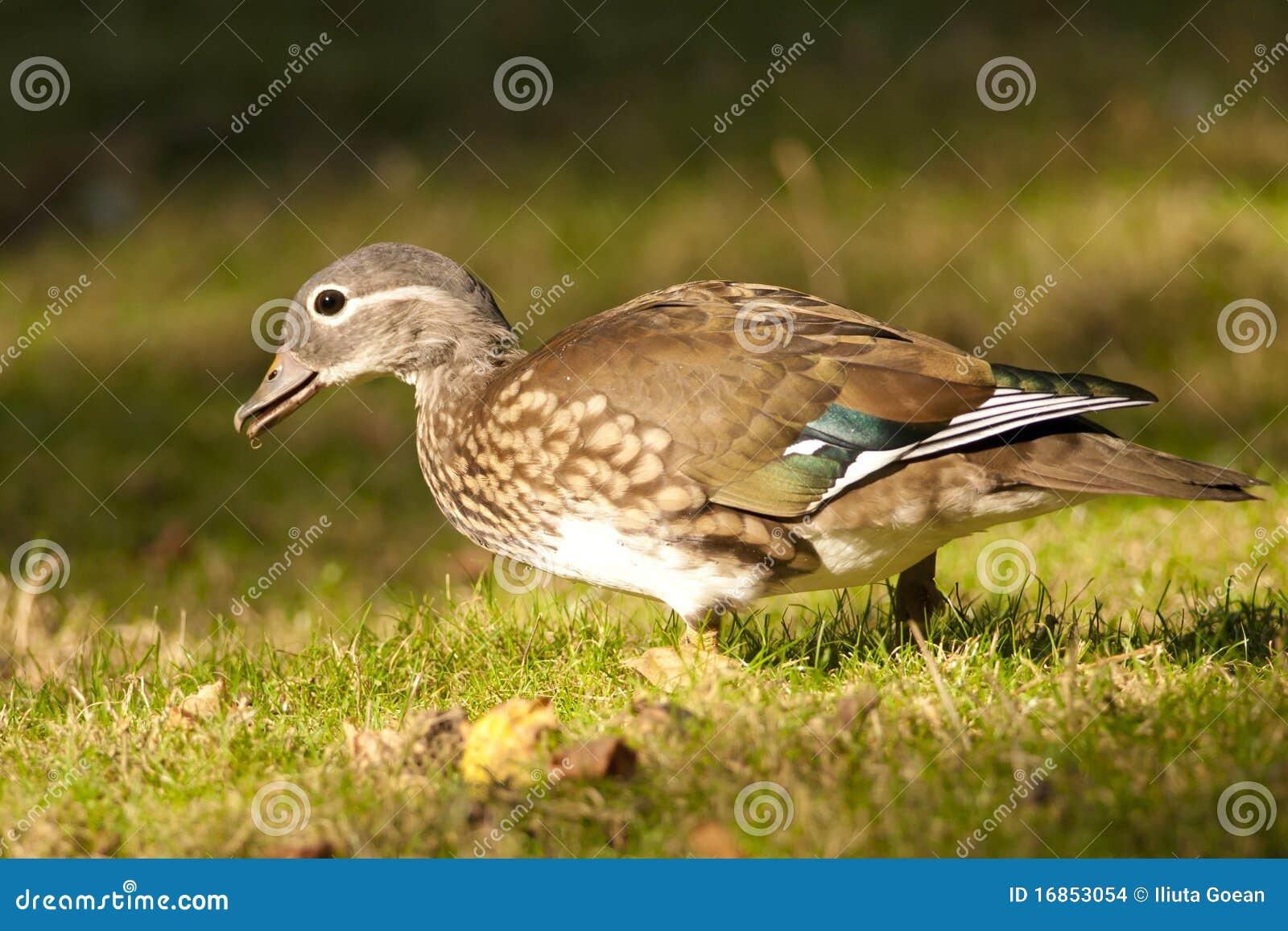 Женщина утки мандарина