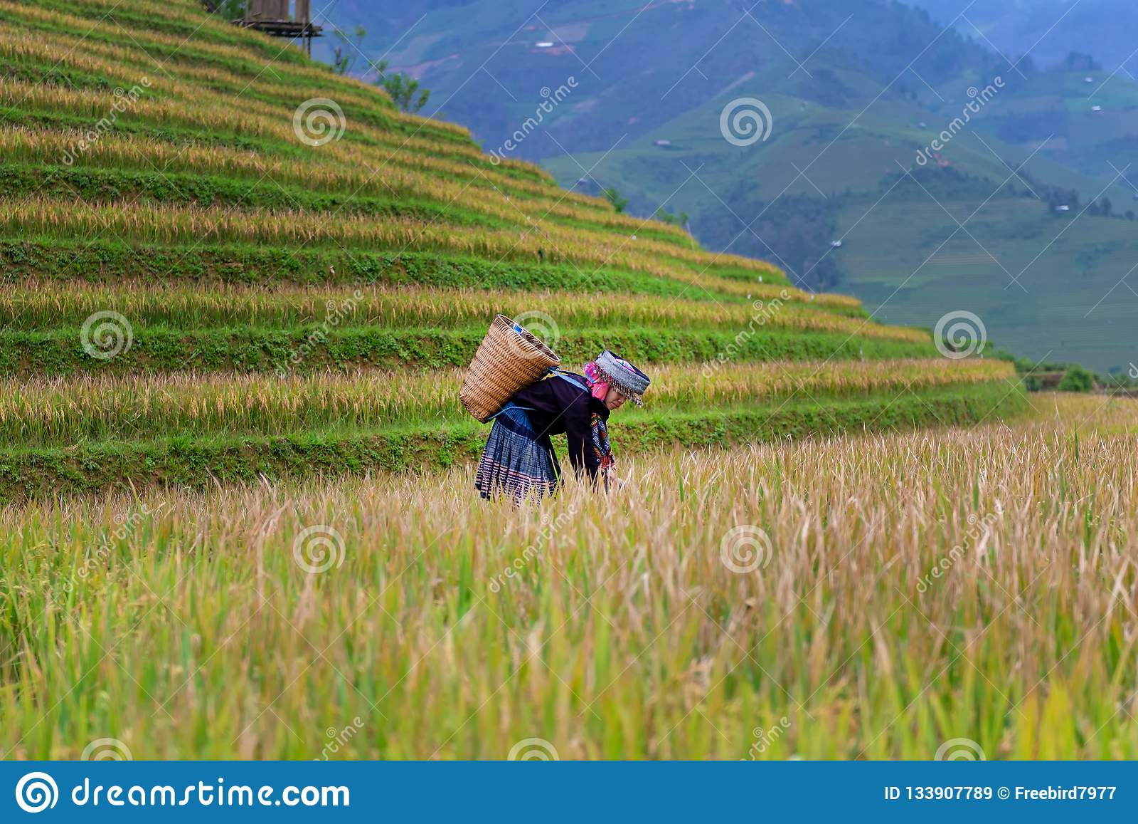 Женщины фермера жмут индустрию земледелия риса Террасное поле риса в сезоне сбора с женщиной этнического меньшинства на рисе поля