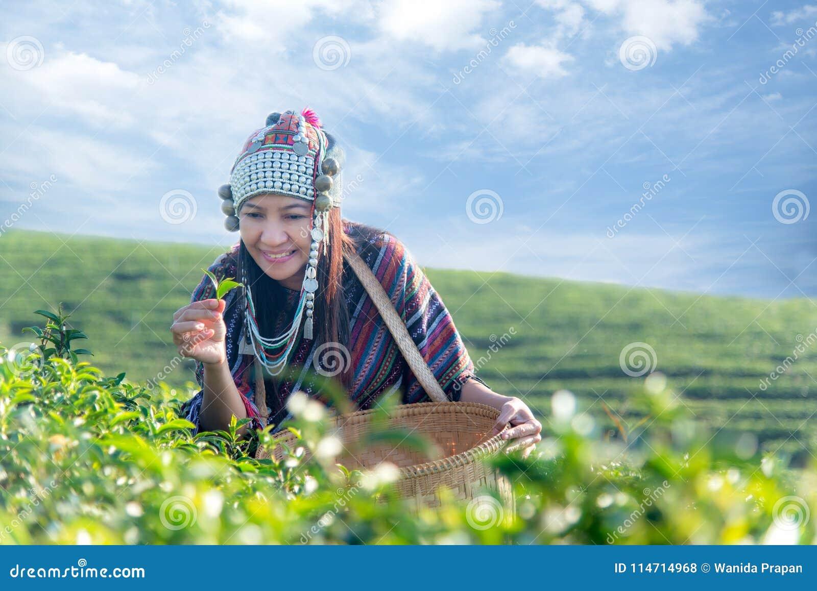 Женщины фермера работника Азии выбирали листья чая для традиций в утре восхода солнца на плантации чая