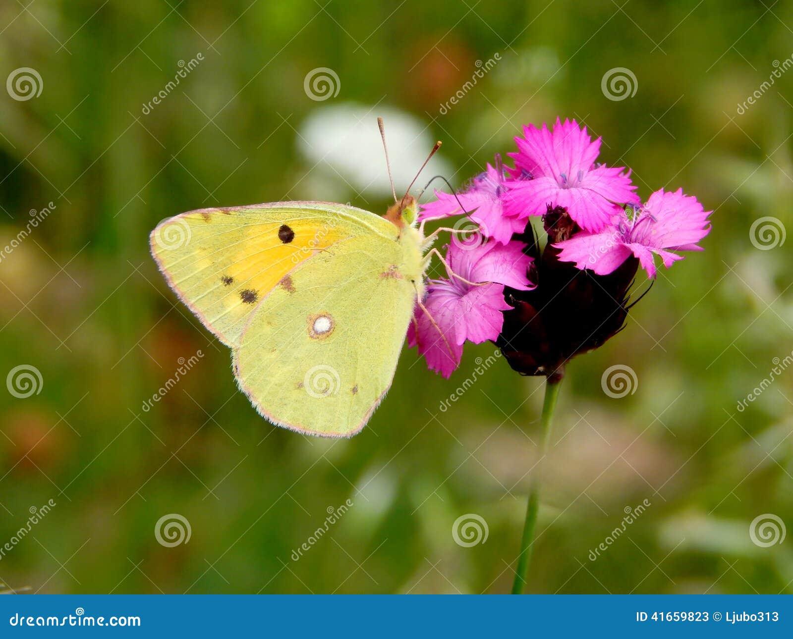 Желтая бабочка на цветке
