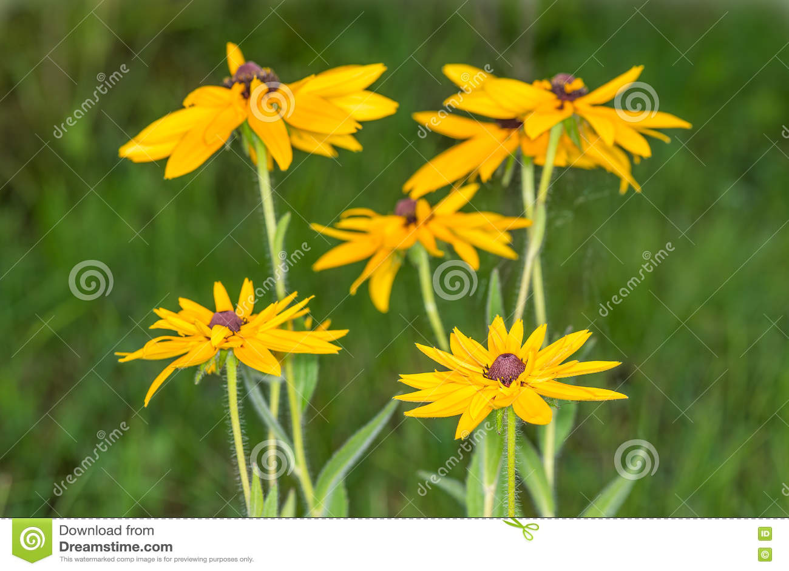 эхинацея фото желтая