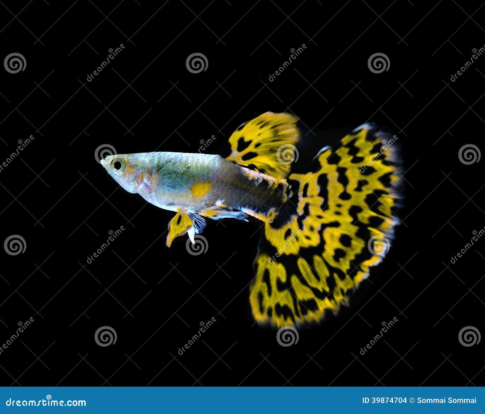 Желтое заплывание рыб гуппи на черноте