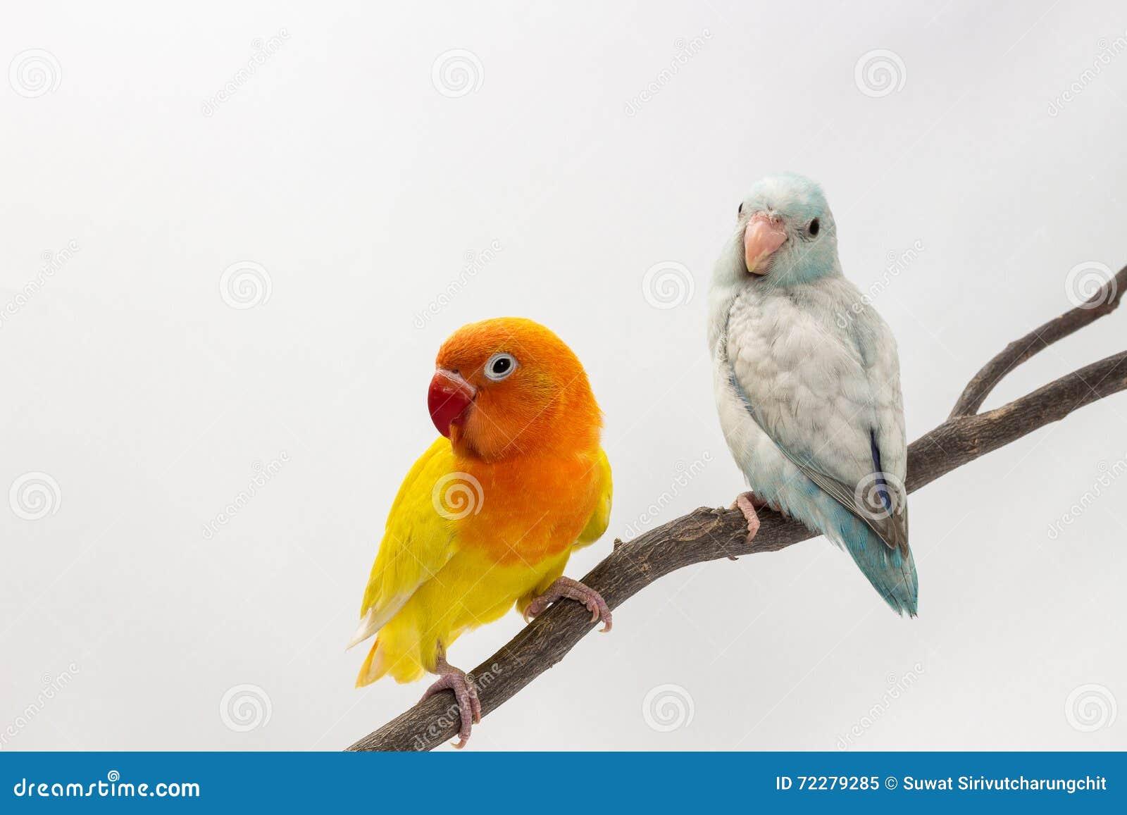 Download Желтое Lobebird и пастельное голубое Forpus Стоковое Изображение - изображение насчитывающей бело, биографической: 72279285